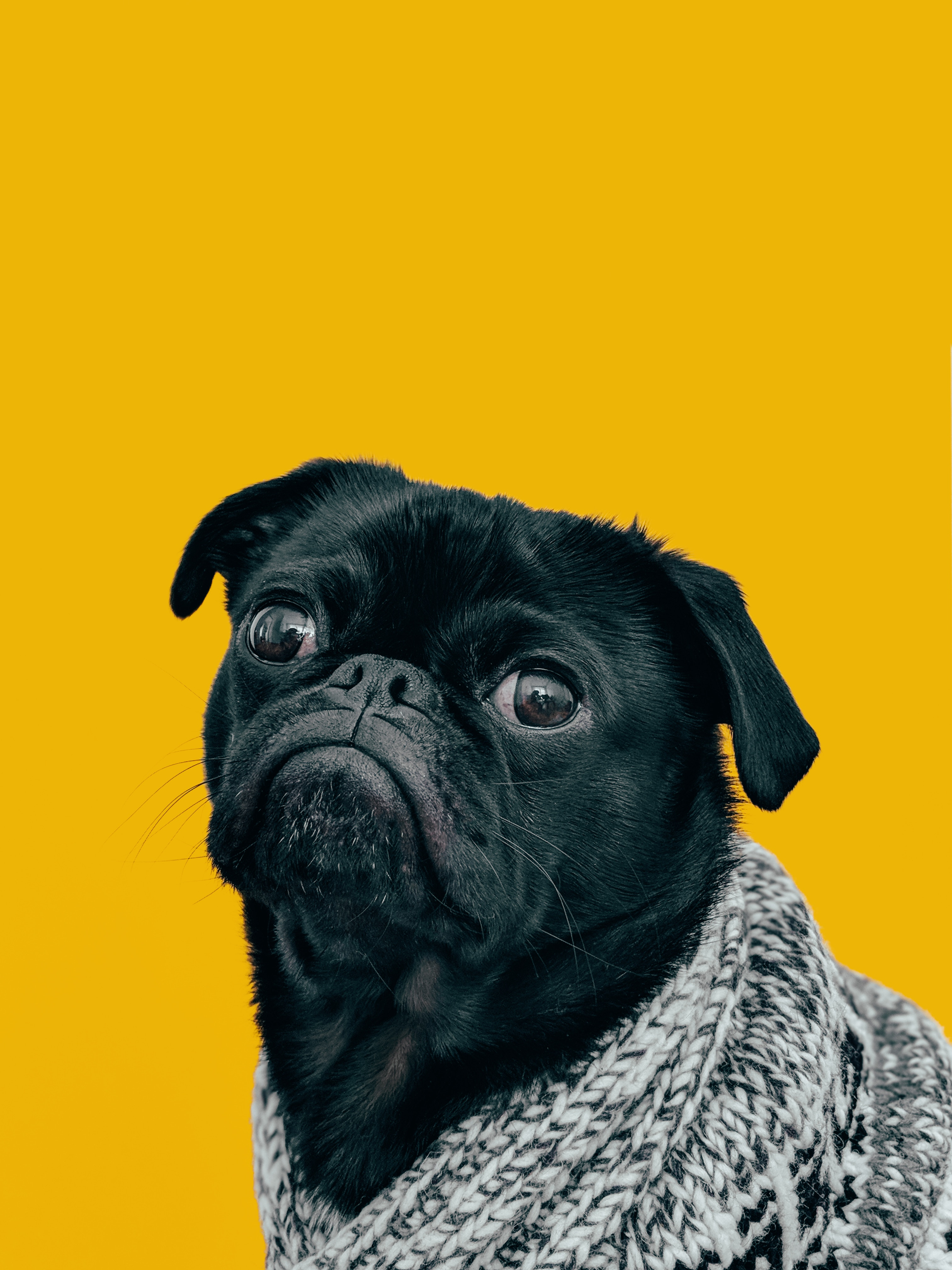 157773 Screensavers and Wallpapers Scarf for phone. Download Animals, Dog, Muzzle, Sight, Opinion, Pug, Scarf pictures for free
