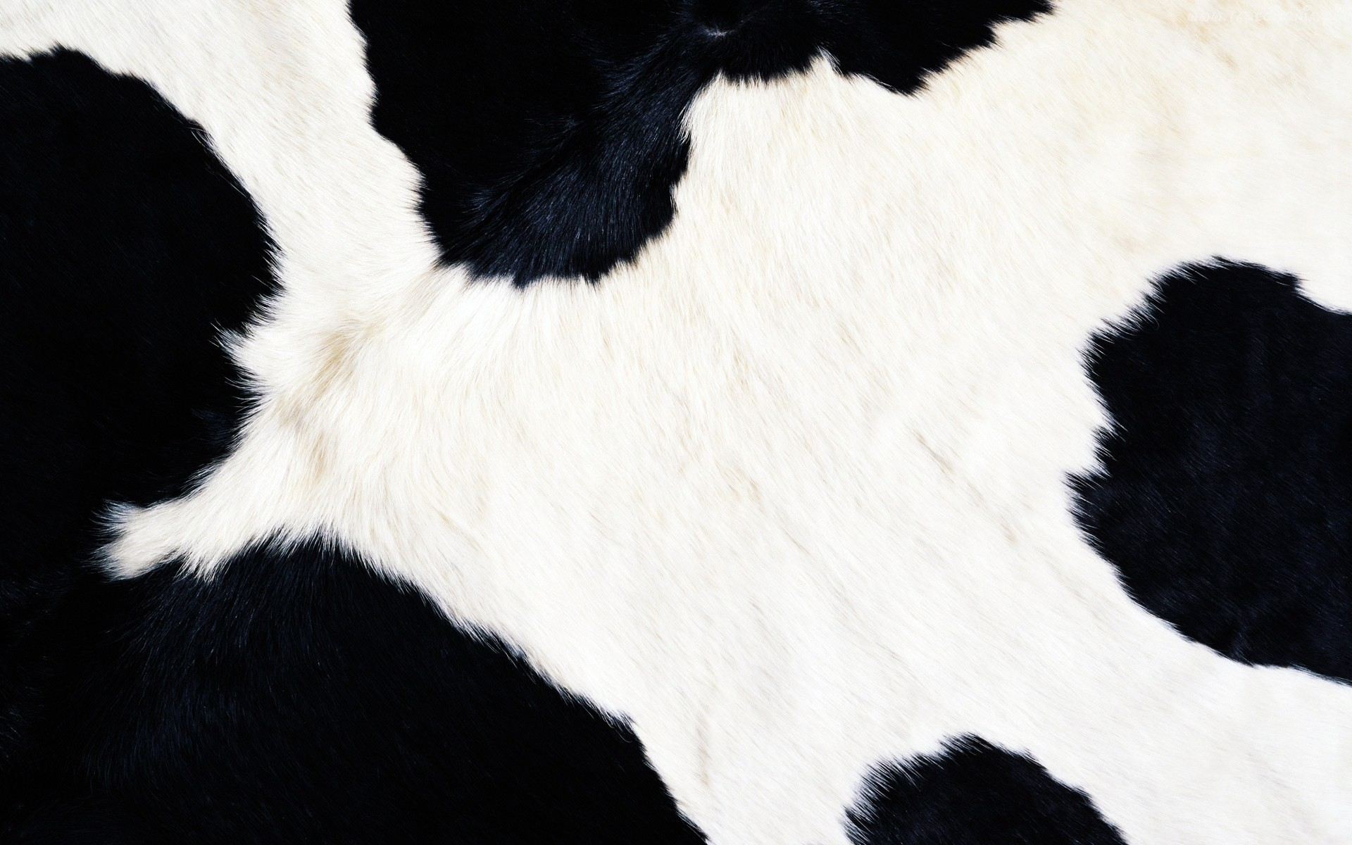 14728 download wallpaper Background, Cows screensavers and pictures for free