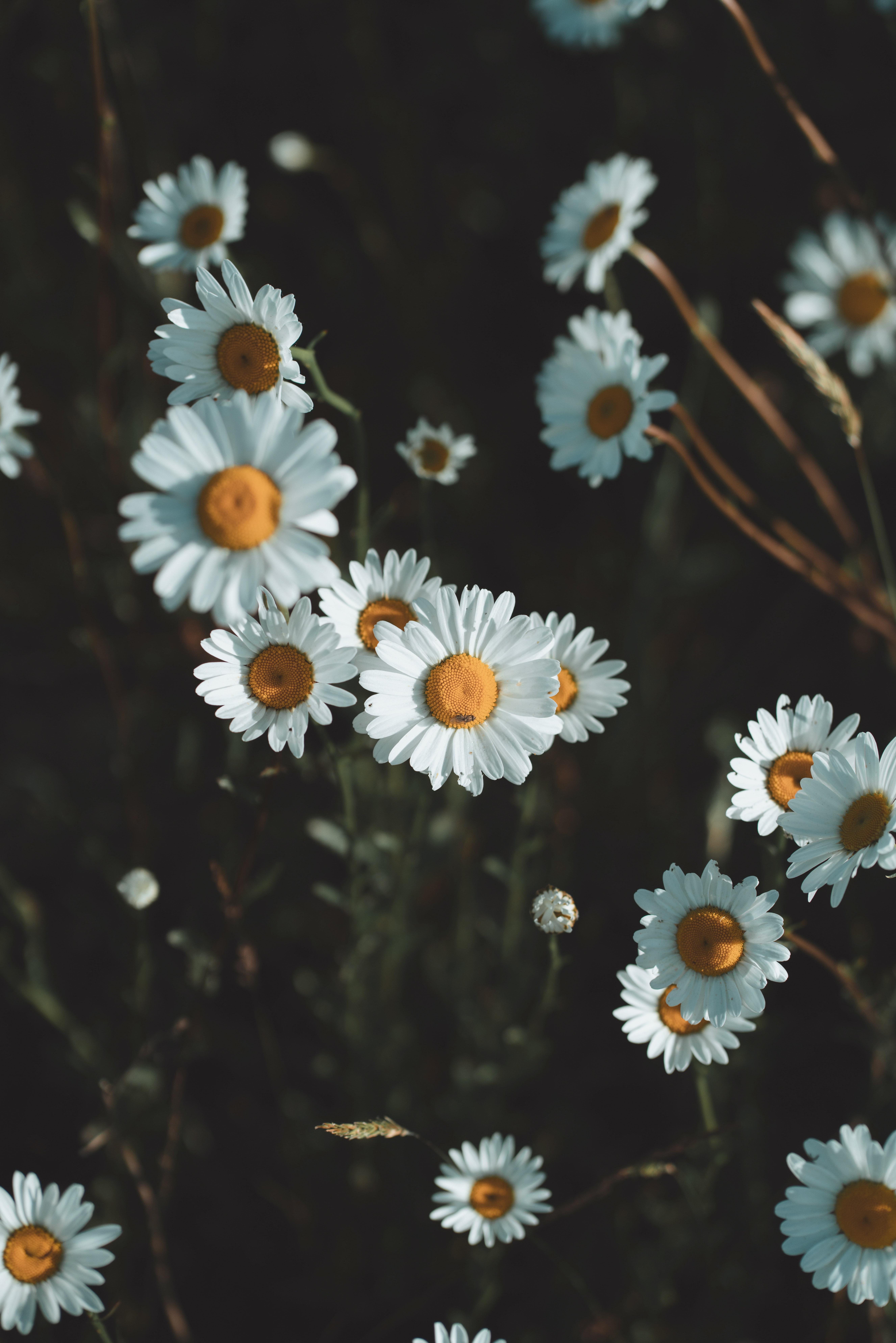56319 скачать обои Ромашки, Цветы, Лепестки, Полевые Цветы - заставки и картинки бесплатно