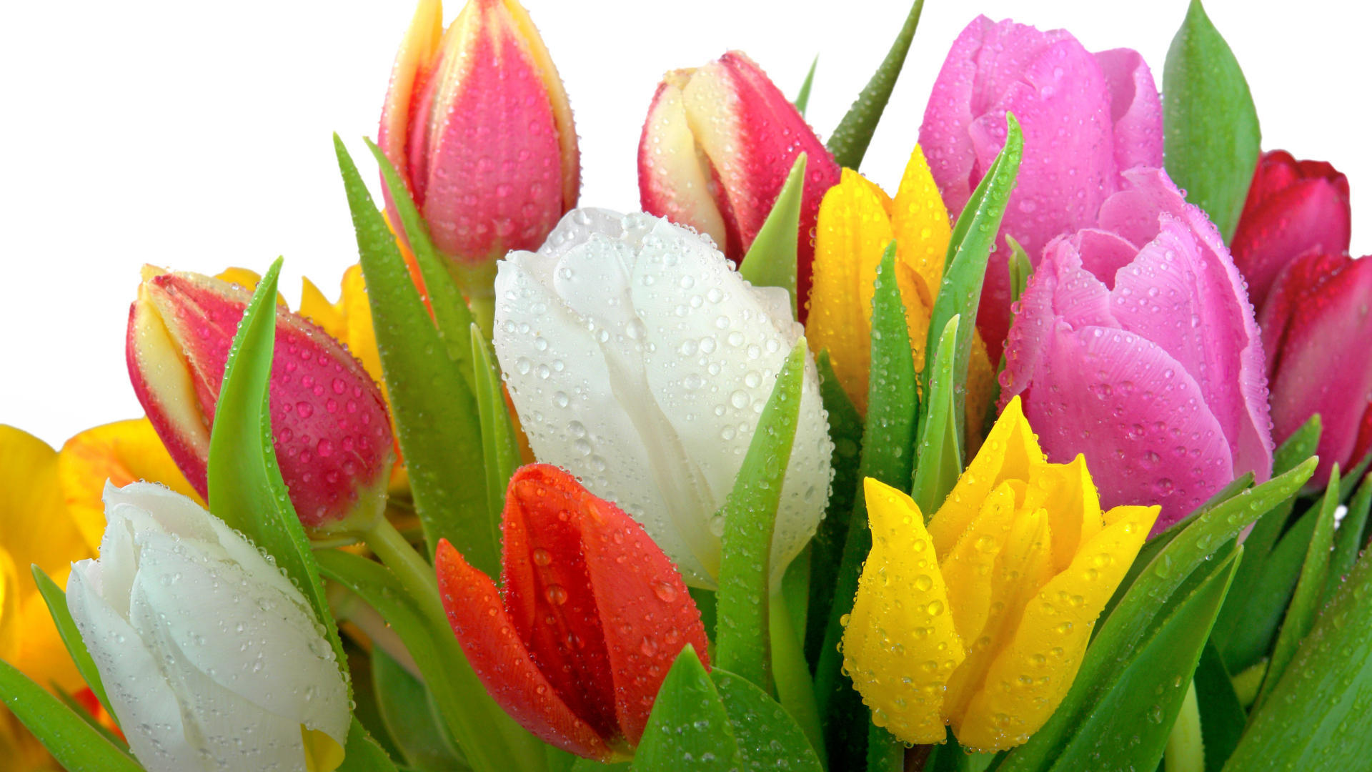 31046 скачать обои Растения, Цветы, Тюльпаны - заставки и картинки бесплатно