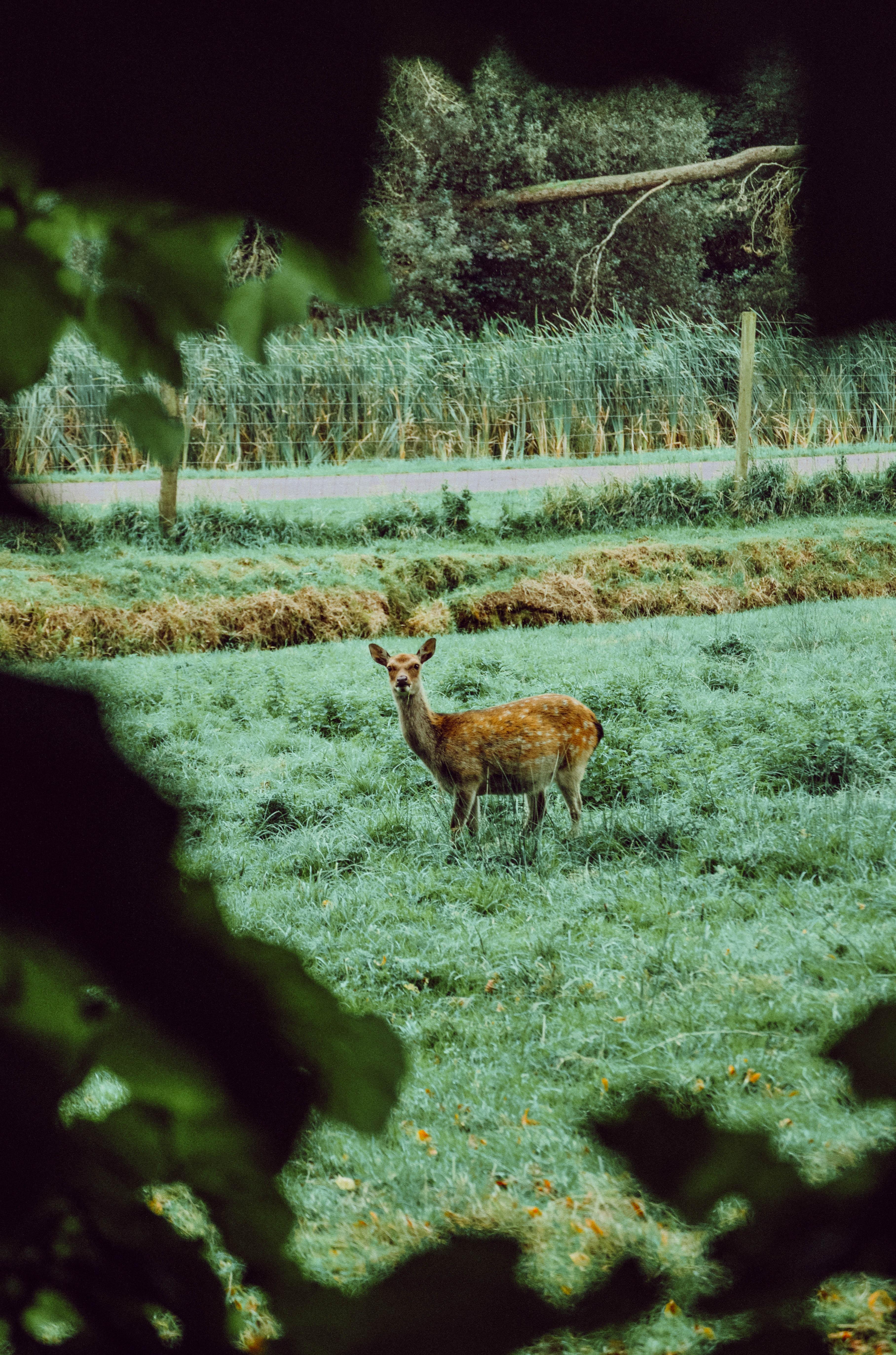 96592 скачать обои Животные, Лань, Животное, Дикий, Трава, Природа - заставки и картинки бесплатно