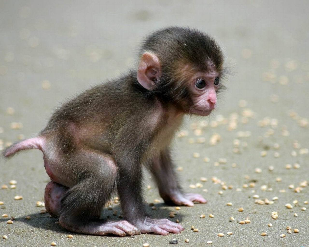 4719 download wallpaper Animals, Monkeys screensavers and pictures for free