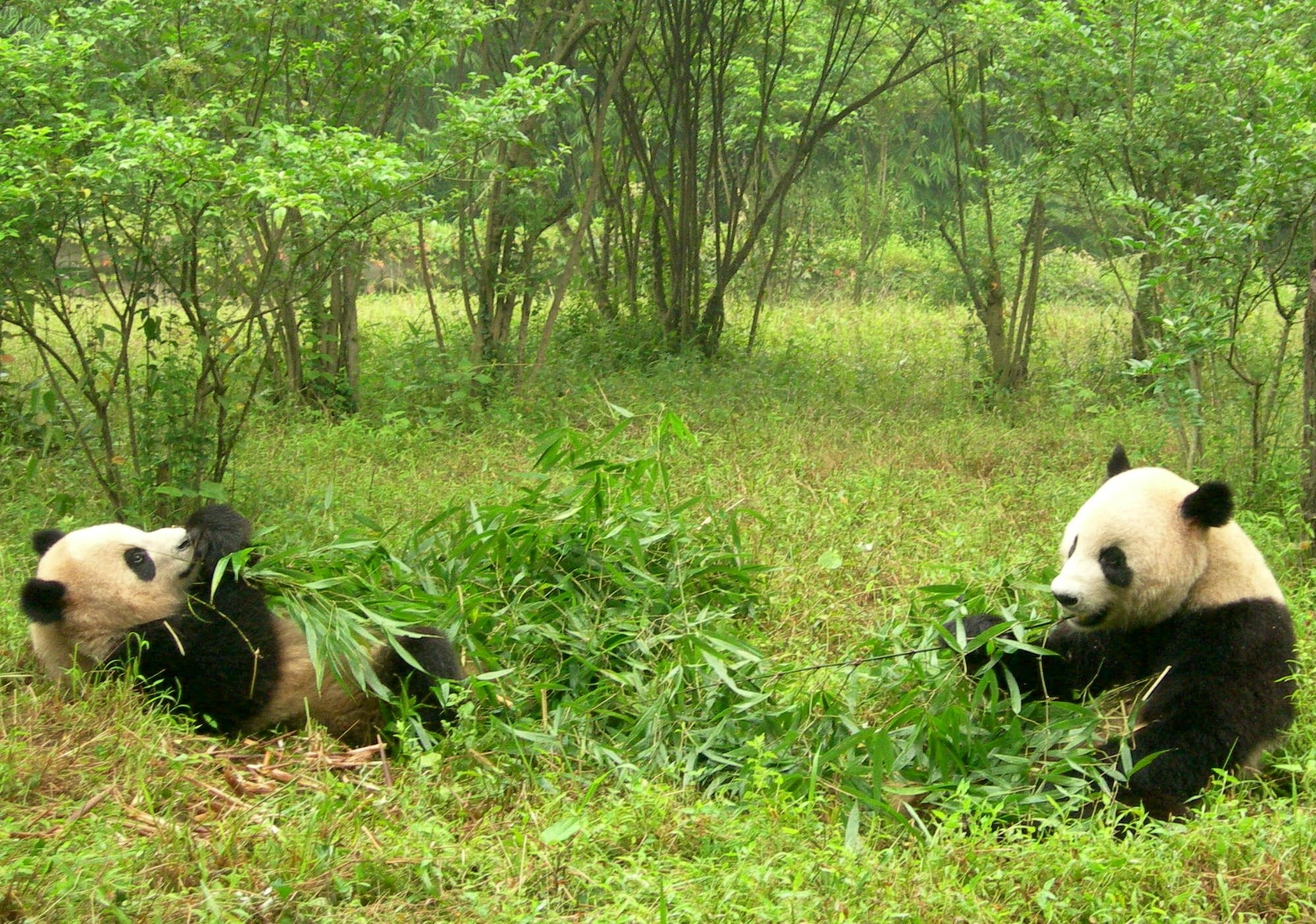 155323 download wallpaper Animals, Grass, Couple, Pair, Food, Pandas screensavers and pictures for free
