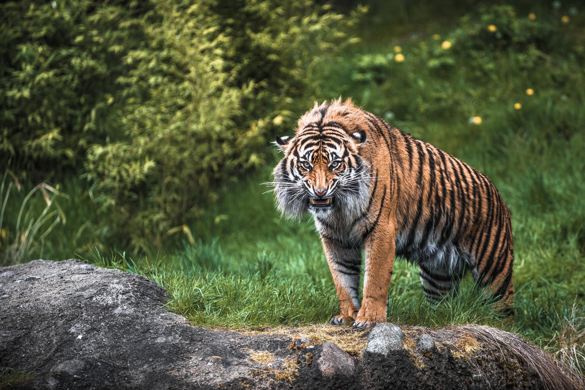 80412 Hintergrundbild herunterladen Tiere, Grass, Aggression, Grinsen, Grin, Schnauze, Tiger - Bildschirmschoner und Bilder kostenlos