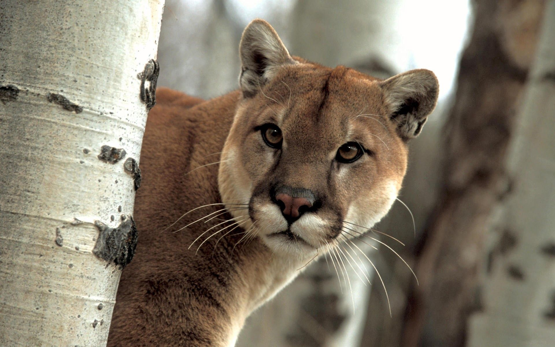 80376 download wallpaper Animals, Puma, Trees, Peek Out, Look Out, Muzzle screensavers and pictures for free