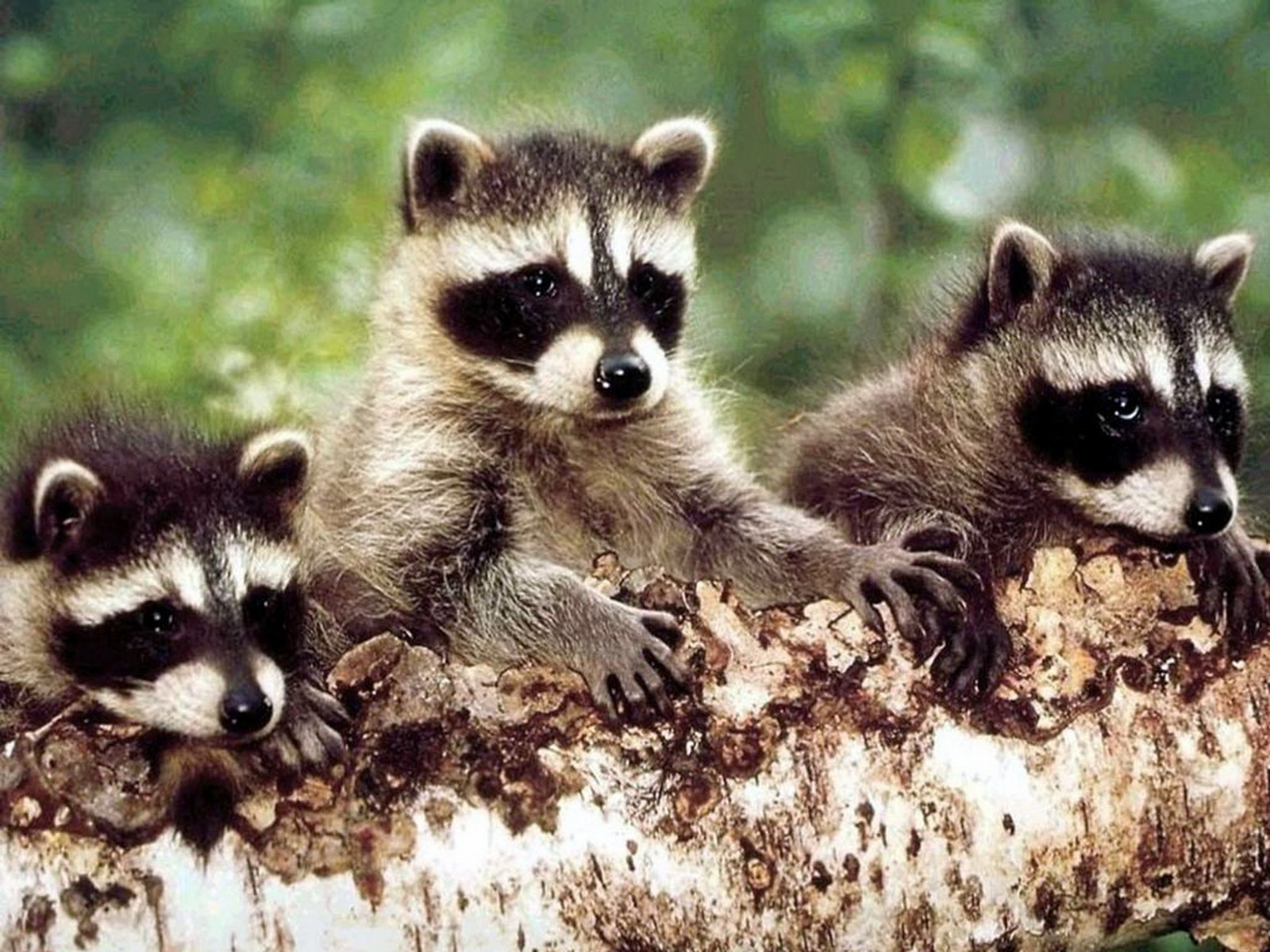 6049 download wallpaper Animals, Raccoons screensavers and pictures for free