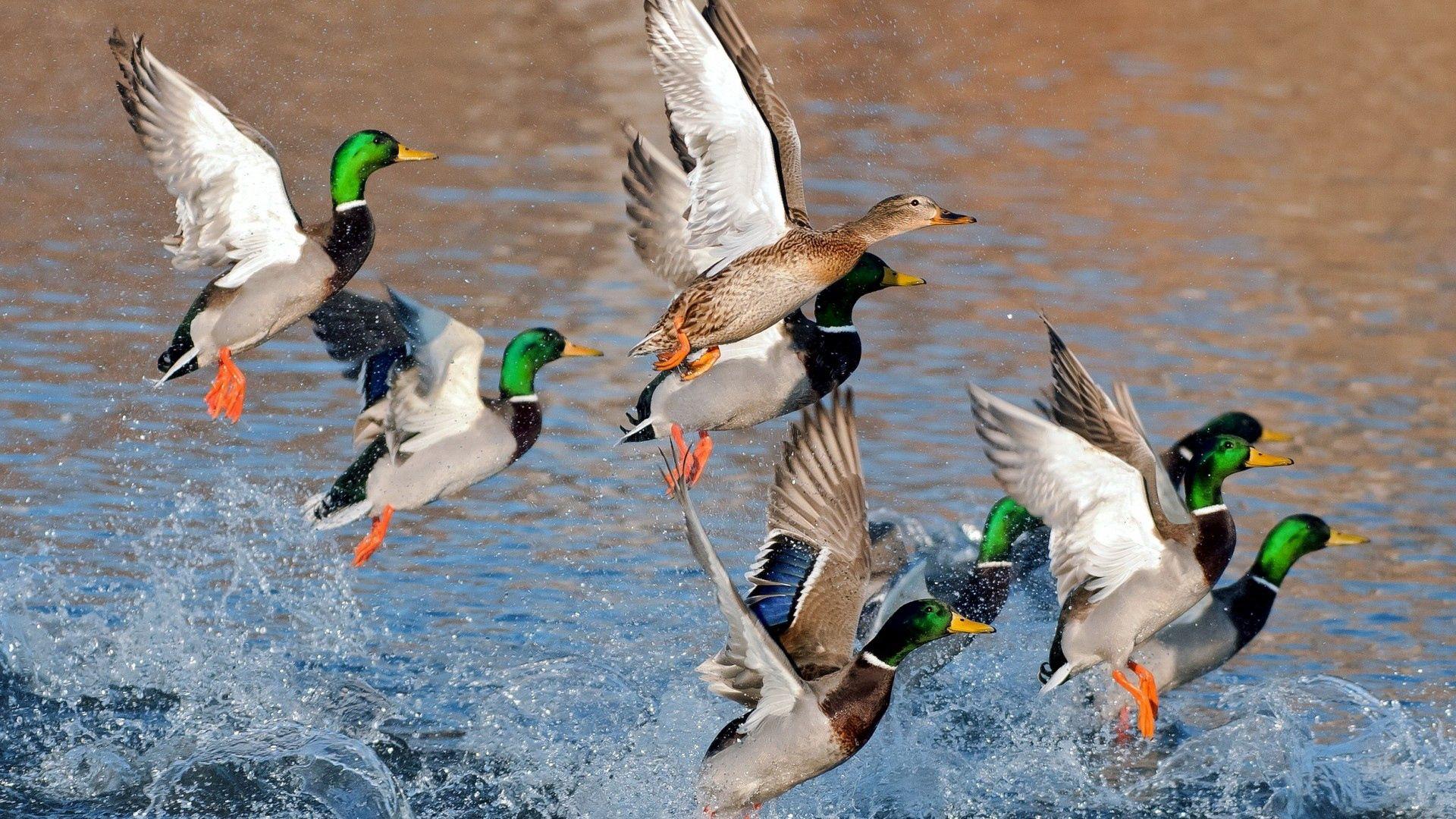 139992 скачать обои Утки, Животные, Река, Озеро, Всплеск, Полет - заставки и картинки бесплатно