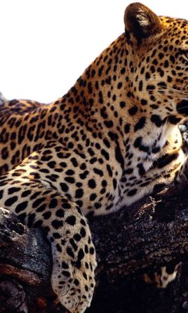 6528 download wallpaper Animals, Leopards screensavers and pictures for free