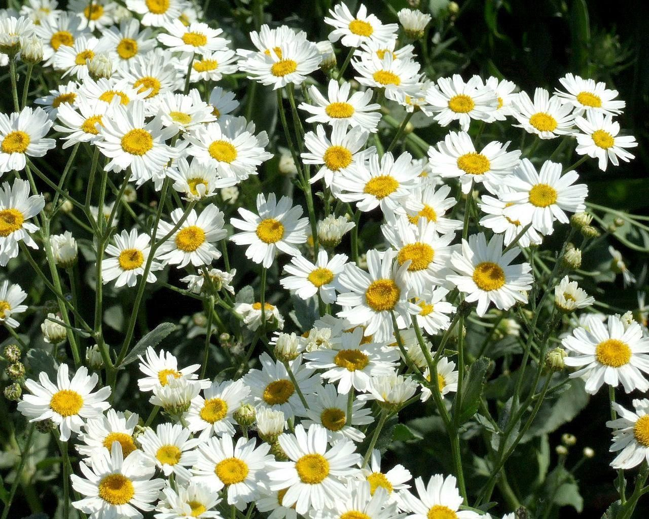 88459 download wallpaper Flowers, Camomile, Polyana, Glade, Greens, Sunny screensavers and pictures for free
