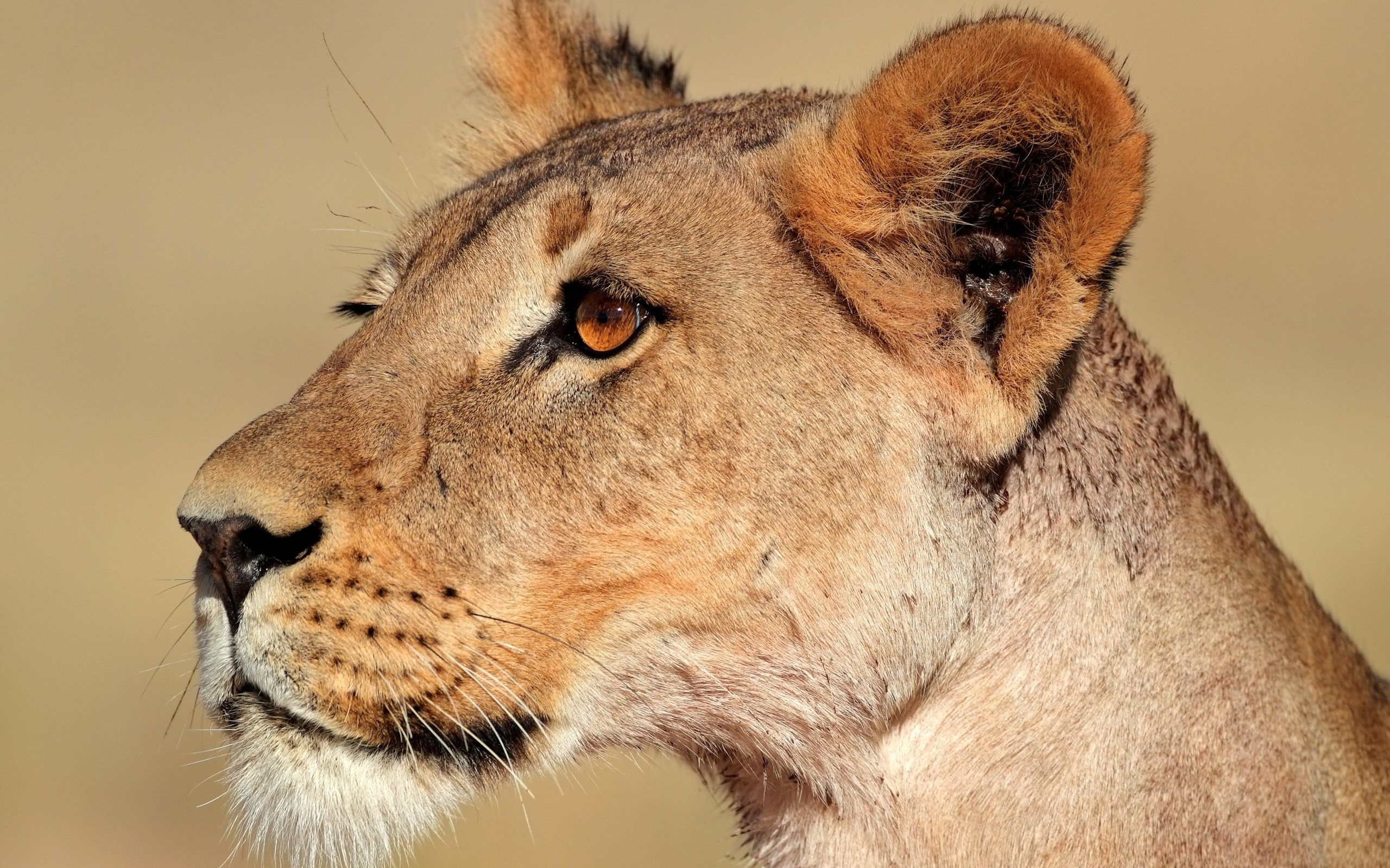 87249 download wallpaper Animals, Lion, Lioness, Muzzle, Profile screensavers and pictures for free