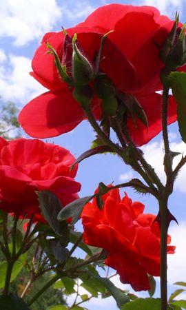 241 скачать обои Растения, Цветы, Розы - заставки и картинки бесплатно
