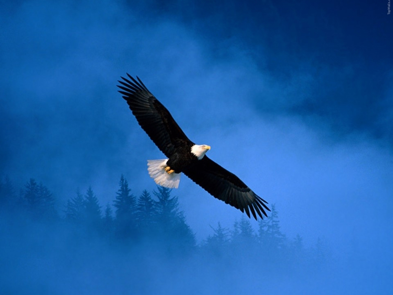 42981 download wallpaper Animals, Birds, Eagles screensavers and pictures for free