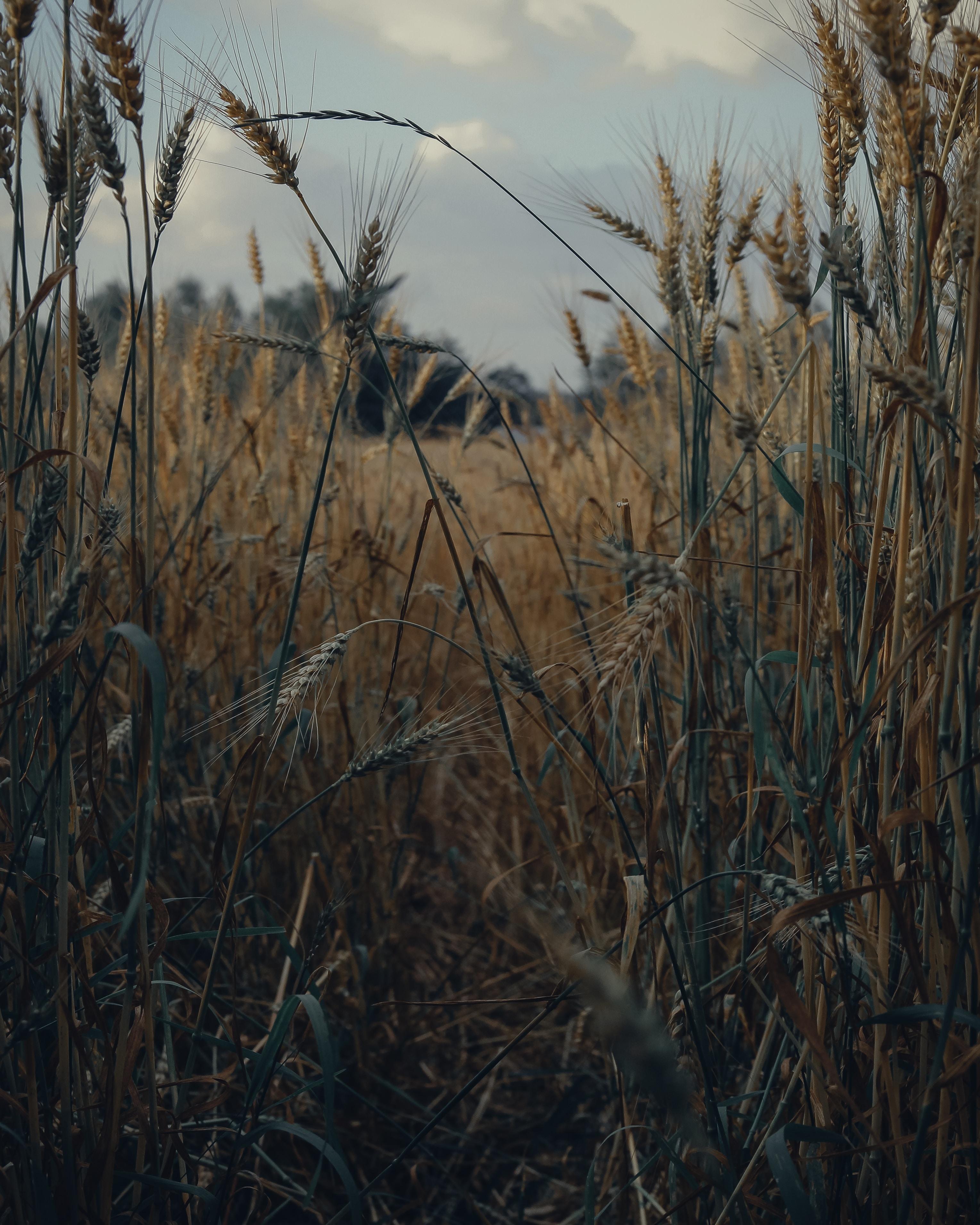 138096 скачать обои Природа, Колоски, Поле, Сухой, Урожай, Пшеница - заставки и картинки бесплатно