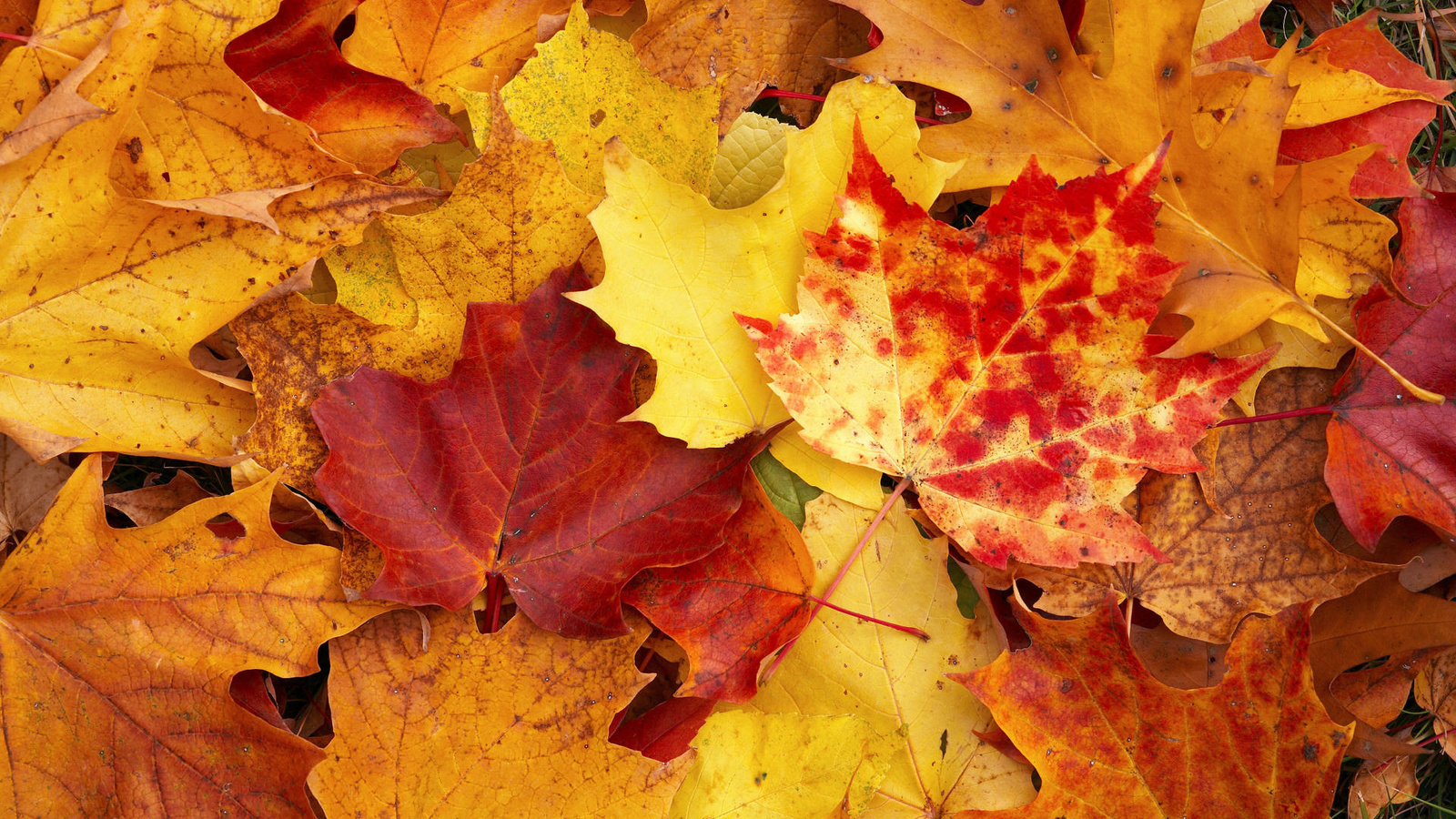 21835 download wallpaper Plants, Autumn, Leaves screensavers and pictures for free