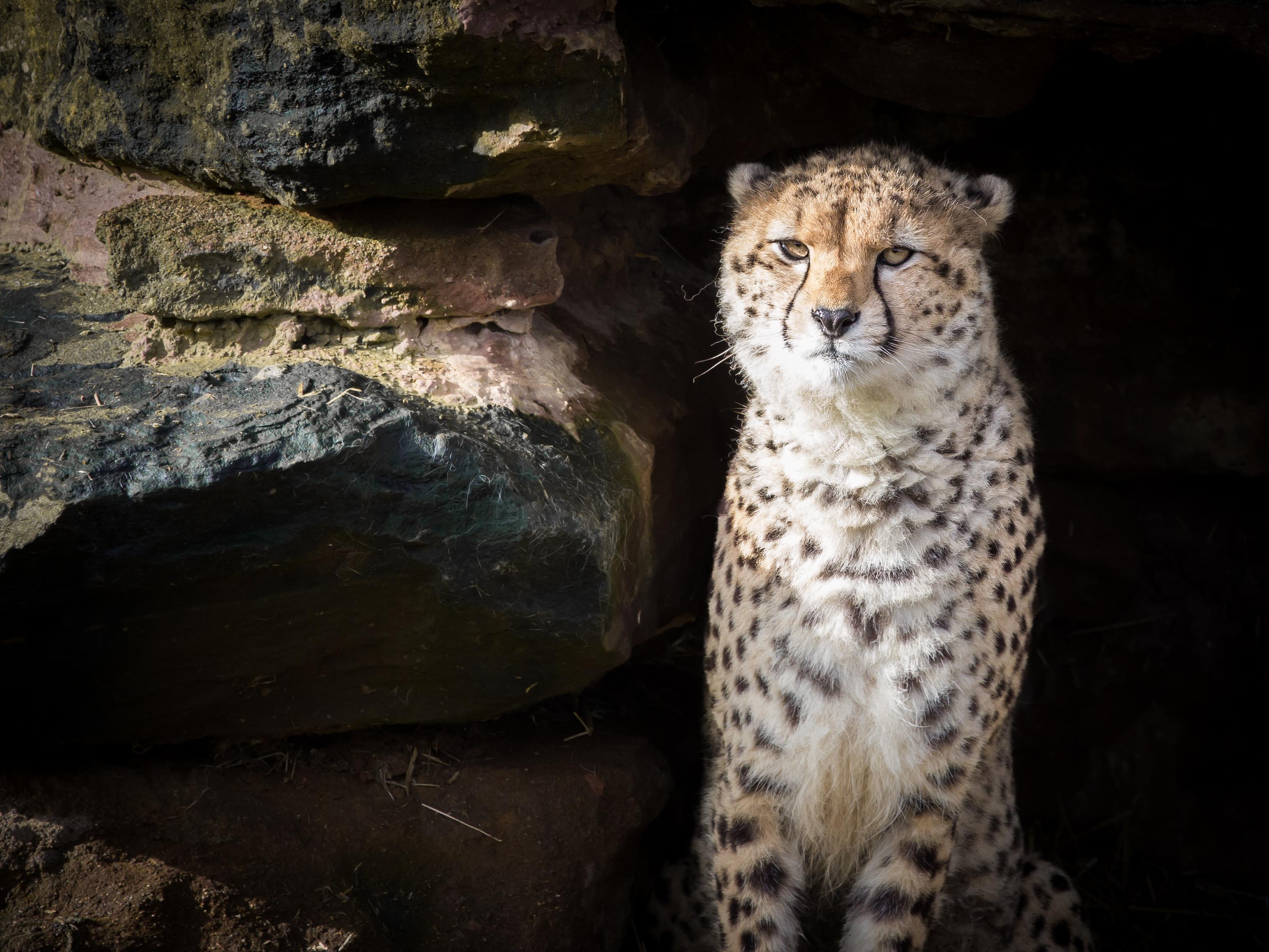68841 скачать обои Животные, Гепард, Животное, Хищник, Большая Кошка, Дикая Природа - заставки и картинки бесплатно