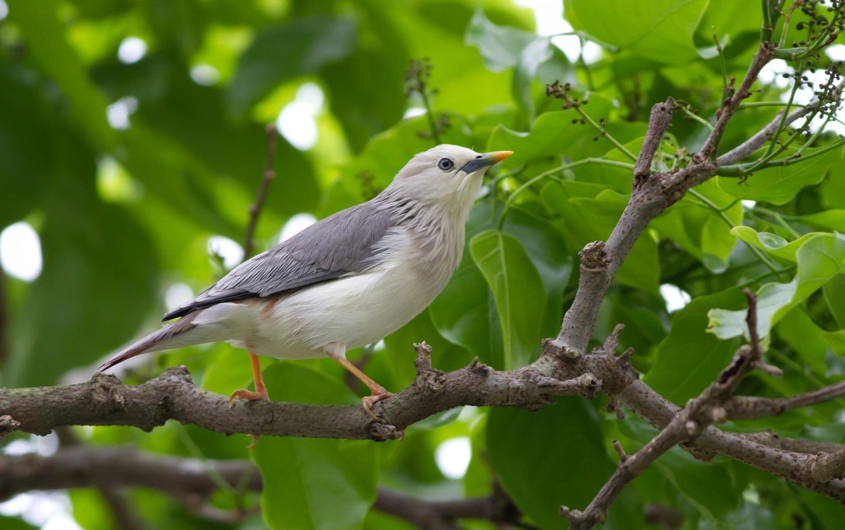 105370 скачать обои Животные, Птица, Дерево, Листья, Ветка, Серая - заставки и картинки бесплатно