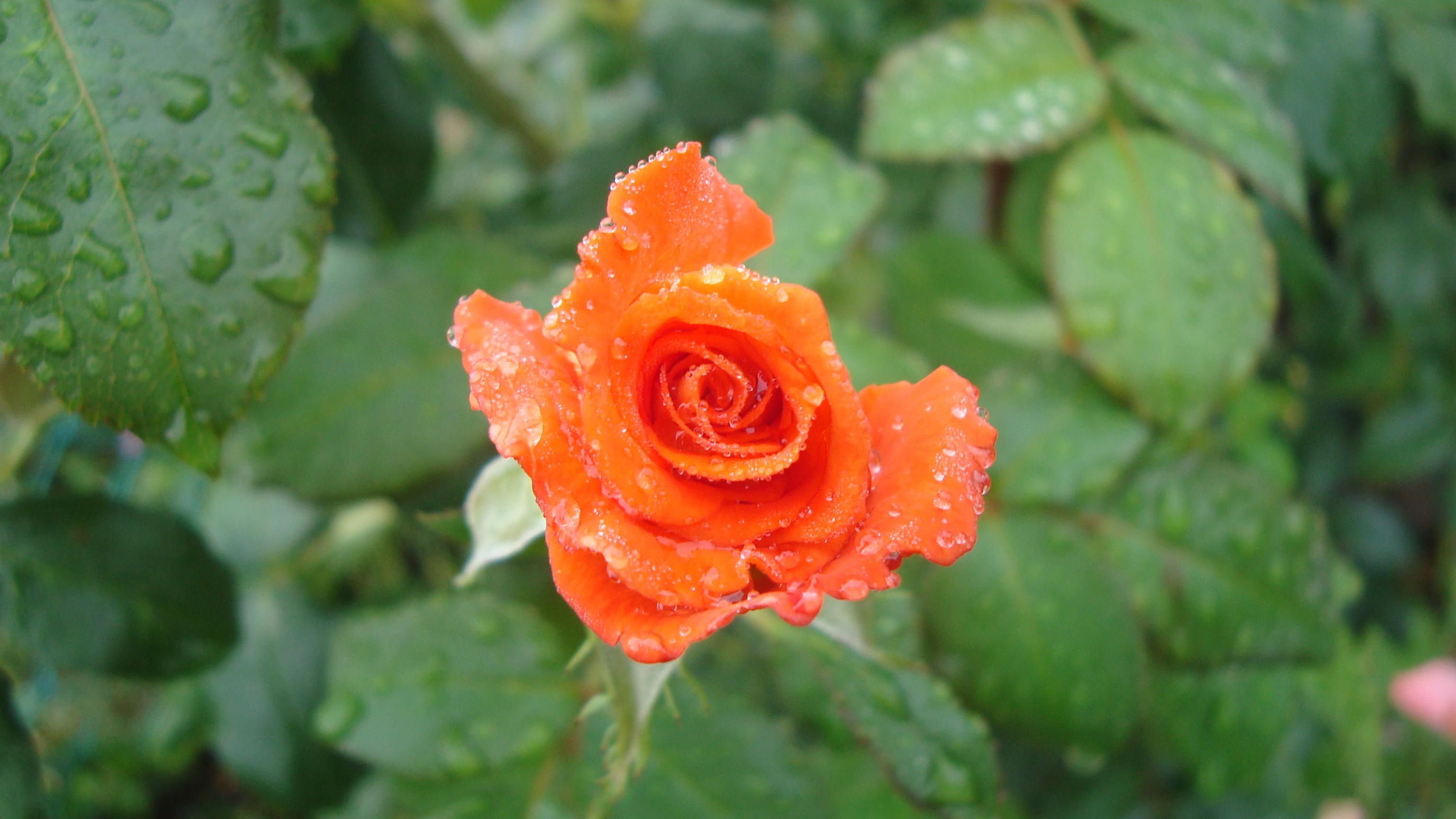 11267 скачать обои Растения, Цветы, Розы, Капли - заставки и картинки бесплатно