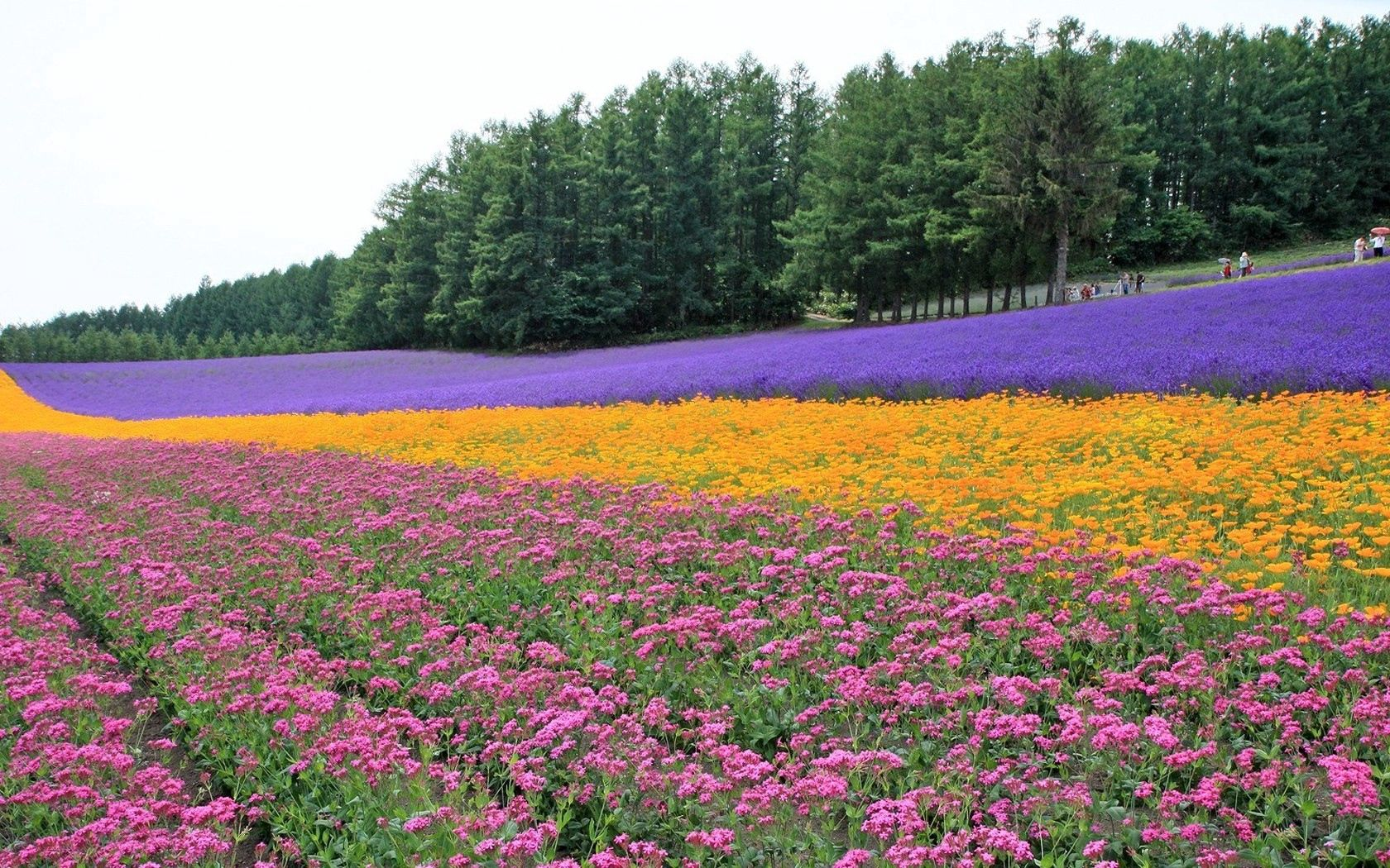 93727 download wallpaper Nature, Flowers, Trees, Field, Plantation, Rows, Ranks, Lavender screensavers and pictures for free