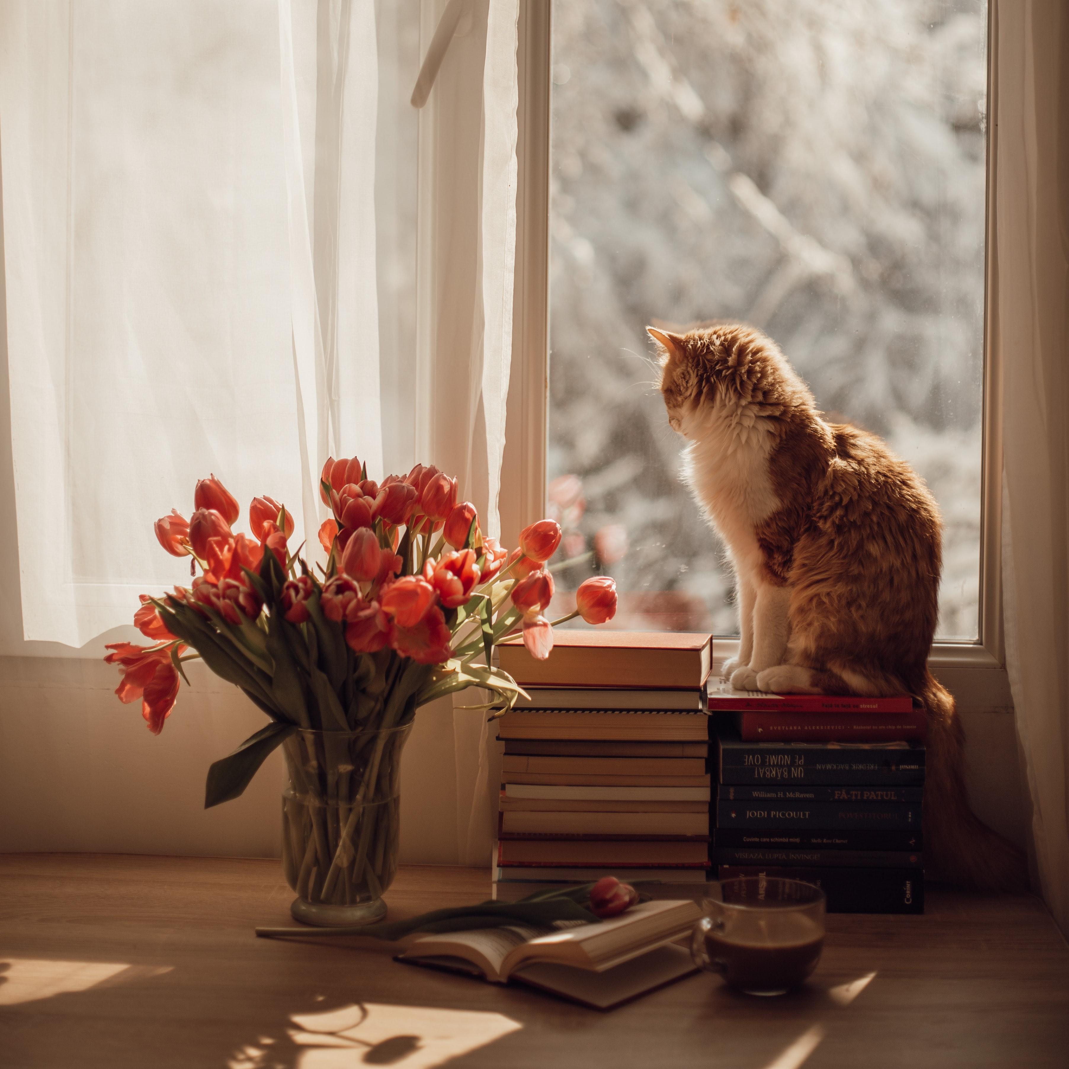 139231 скачать обои Окно, Животные, Цветы, Тюльпаны, Кот, Питомец - заставки и картинки бесплатно