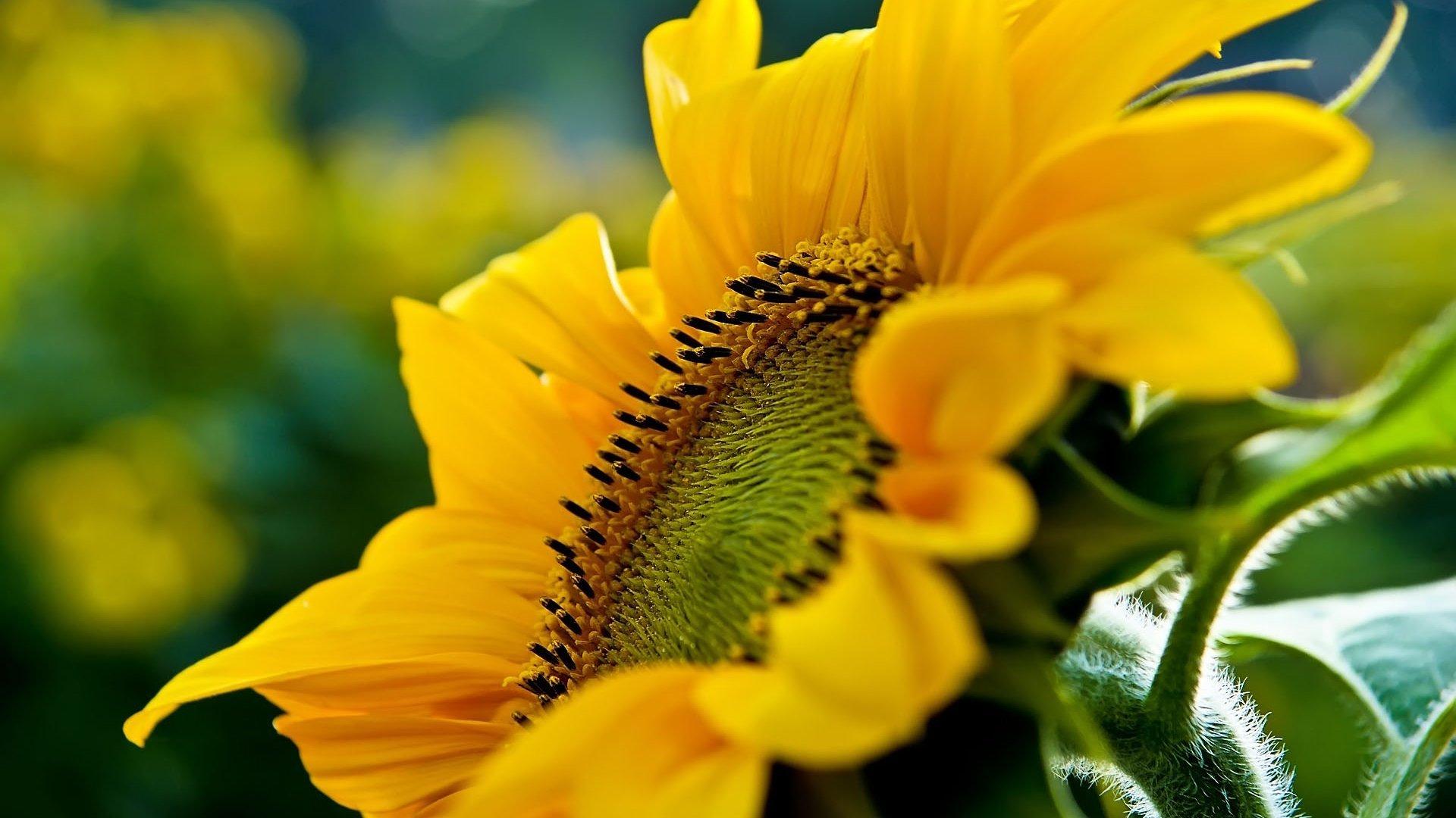 19544 скачать обои Растения, Цветы, Подсолнухи - заставки и картинки бесплатно