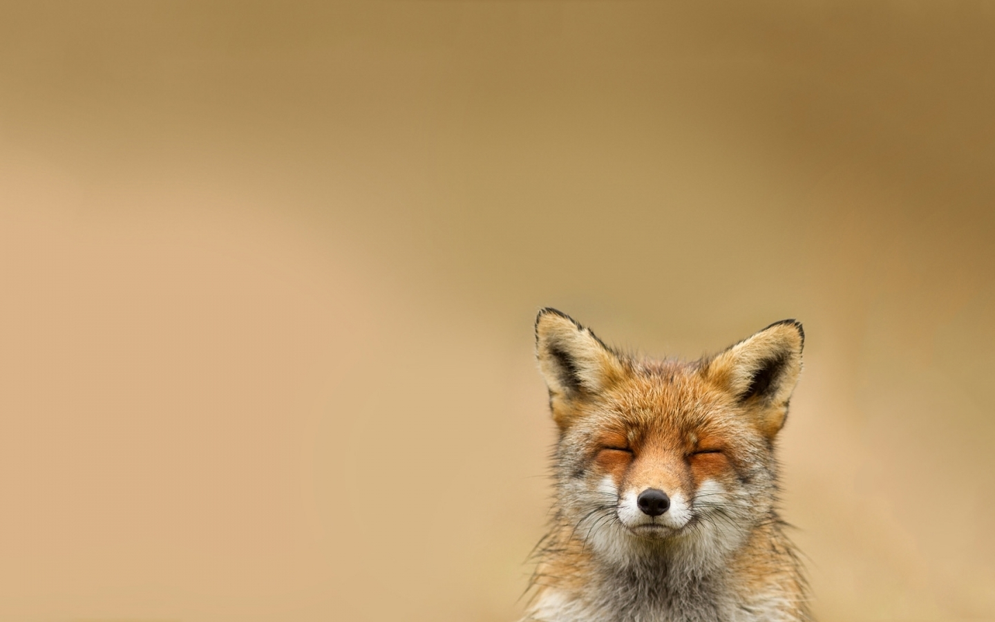 47101 download wallpaper Animals, Fox screensavers and pictures for free