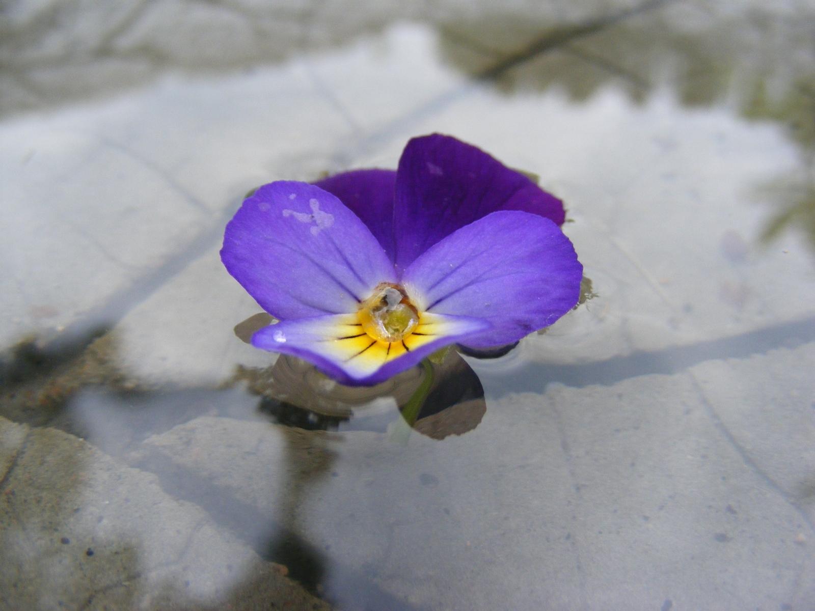 1418 Заставки и Обои Анютины Глазки на телефон. Скачать Растения, Цветы, Анютины Глазки картинки бесплатно