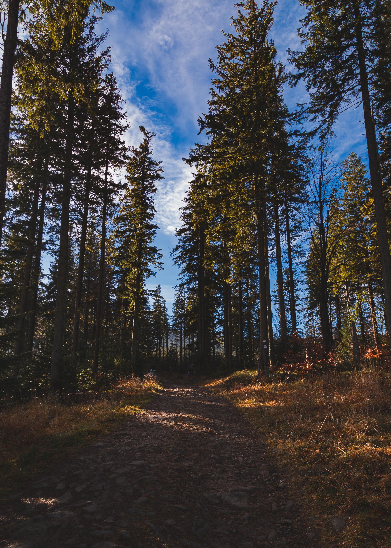 88525 скачать обои Лес, Деревья, Природа, Сосны, Тропинка - заставки и картинки бесплатно