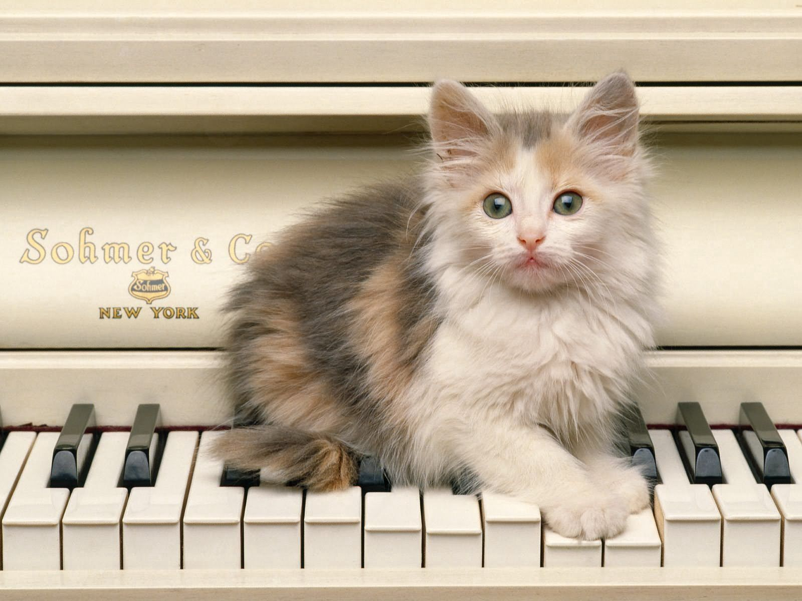90336 Screensavers and Wallpapers Kitten for phone. Download Animals, Piano, Fluffy, Kitty, Kitten, Sight, Opinion, Grand Piano pictures for free