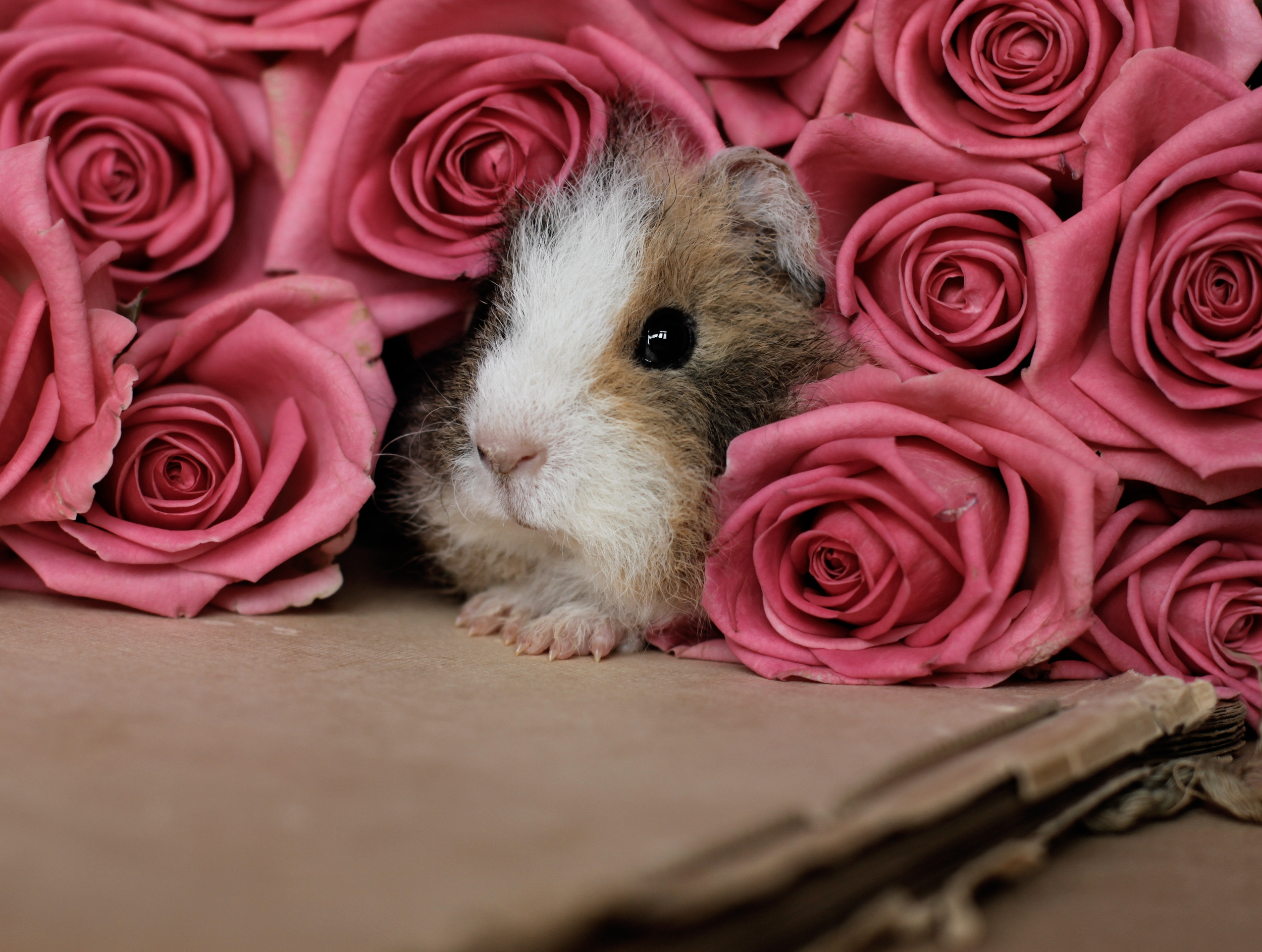 115760 download wallpaper Animals, Guinea Pig, Peek Out, Look Out, Rodent, Cardboard, Roses screensavers and pictures for free