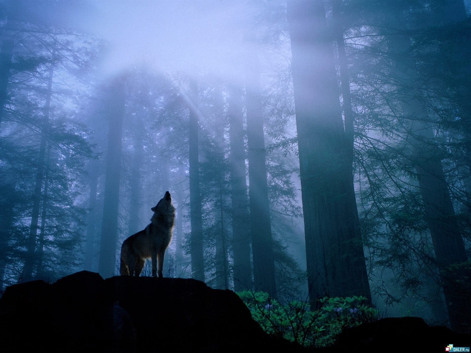 4341 download wallpaper Animals, Wolfs screensavers and pictures for free