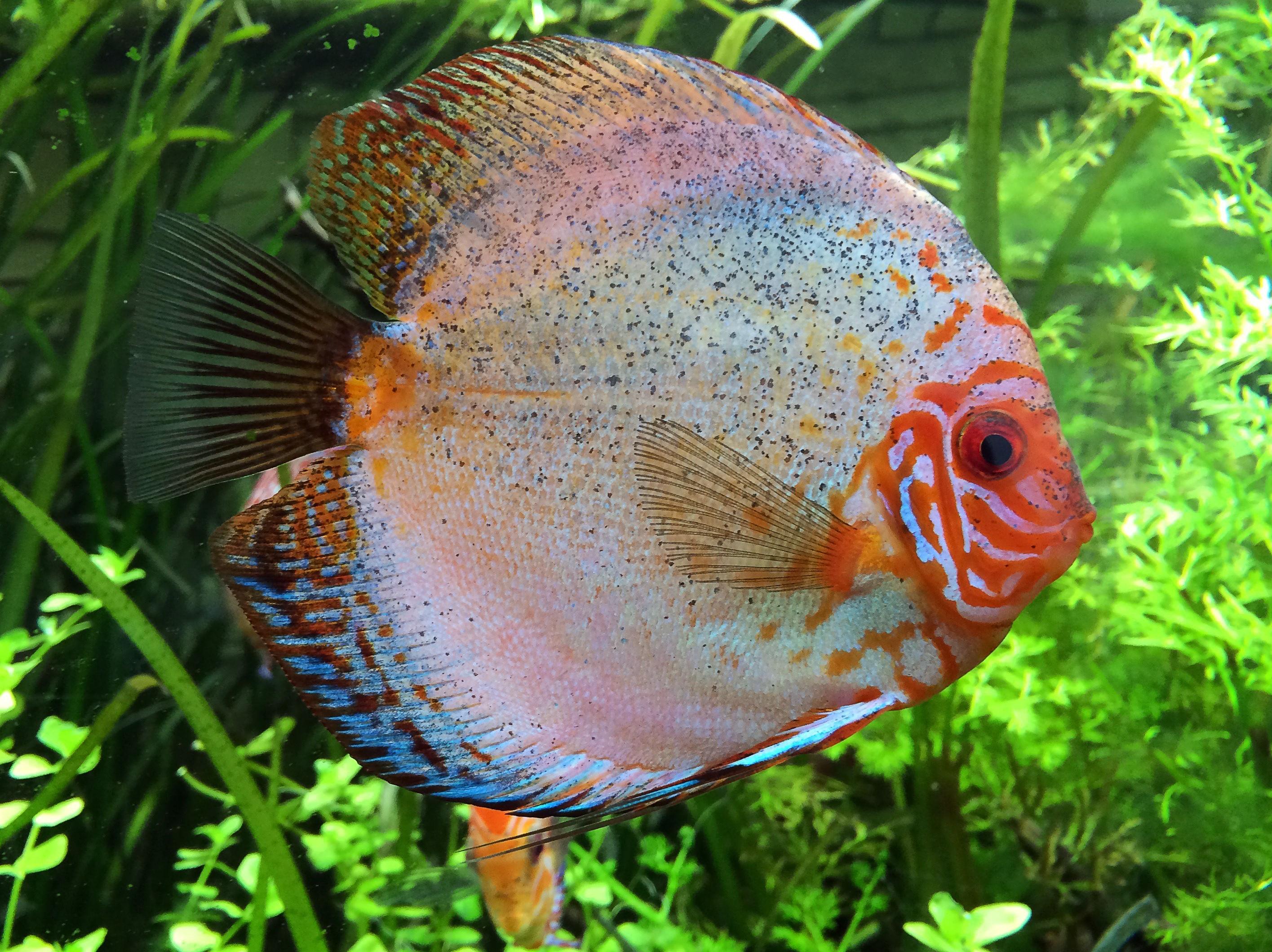 77827 Screensavers and Wallpapers Aquarium for phone. Download Animals, Aquarium, Fish, Cichlid, Cichlids pictures for free