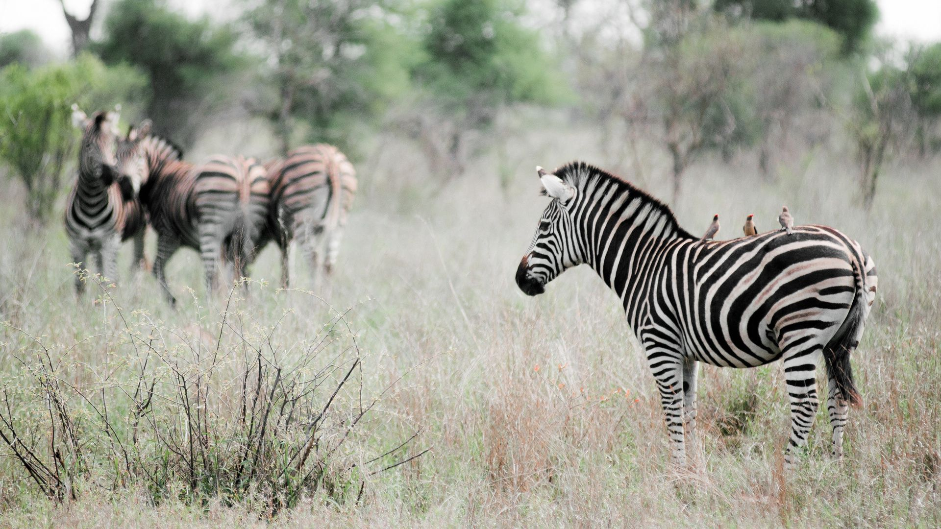 117586 download wallpaper Animals, Zebra, Grass, Stroll, Field, To Stand, Stand screensavers and pictures for free