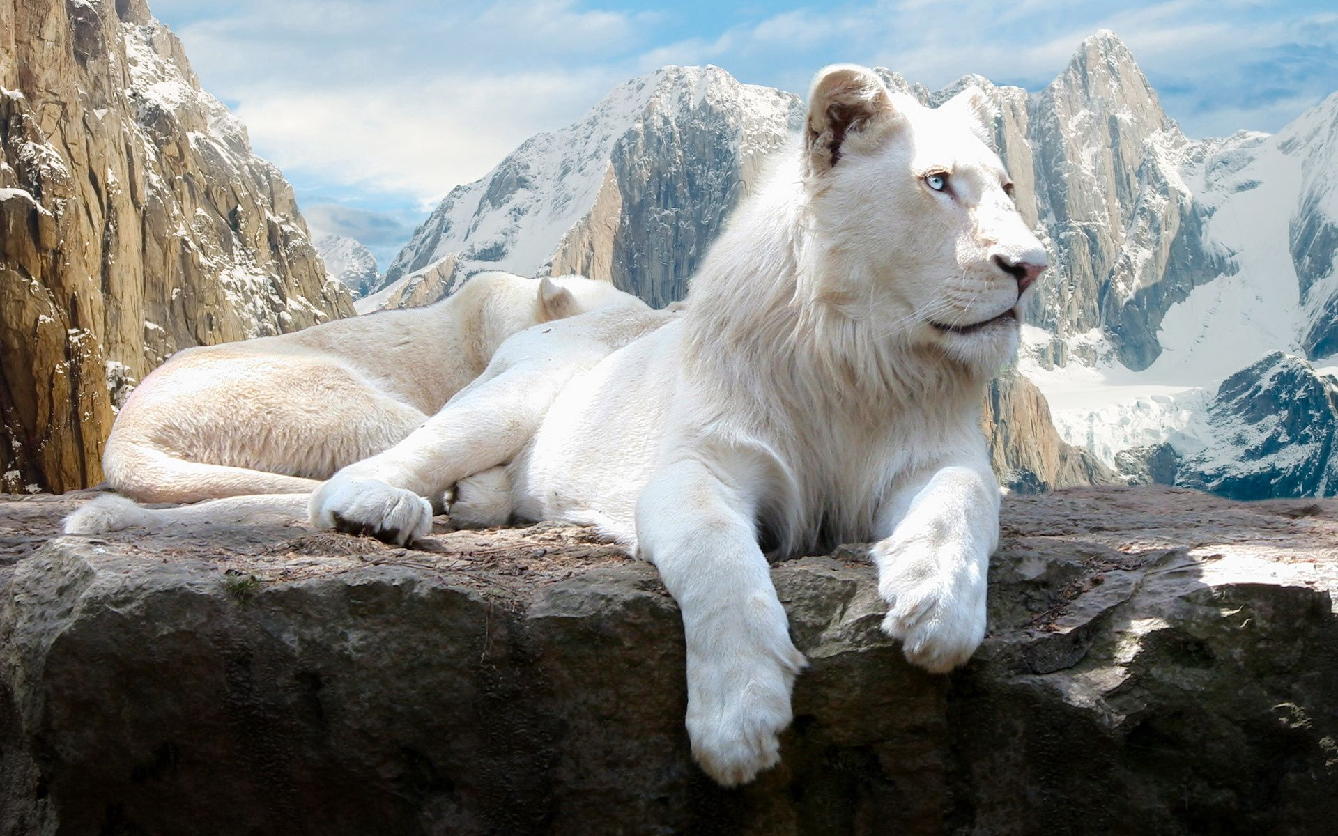73012 download wallpaper Animals, Lion, Rock, Albino, To Lie Down, Lie, Mountains screensavers and pictures for free