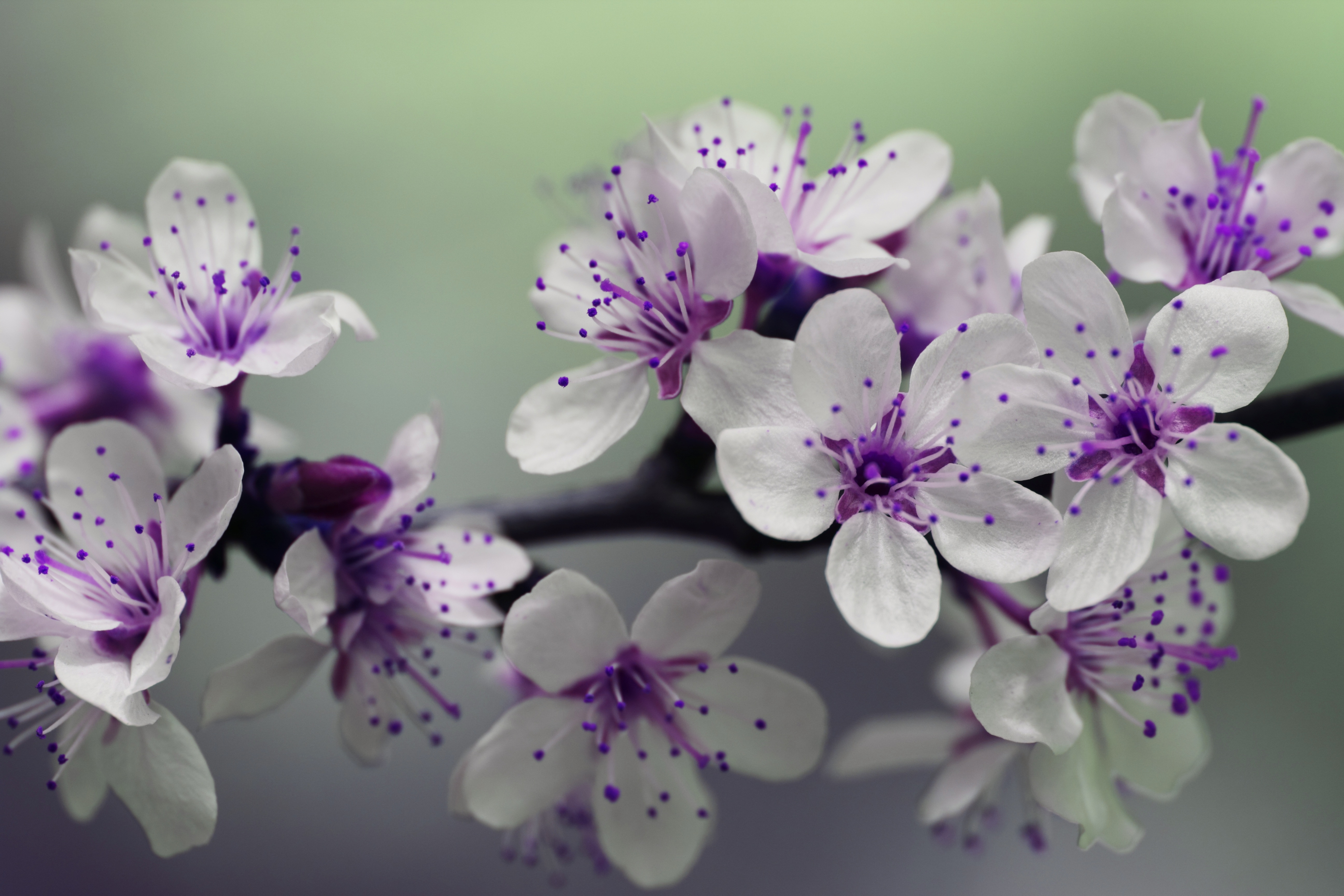 150733 download wallpaper Macro, Cherry, Bloom, Flowering, Branch, Spring screensavers and pictures for free