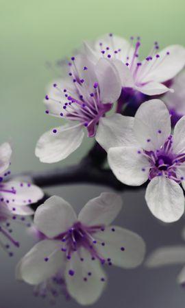 150733 скачать обои Макро, Ветка, Цветение, Вишня, Весна - заставки и картинки бесплатно