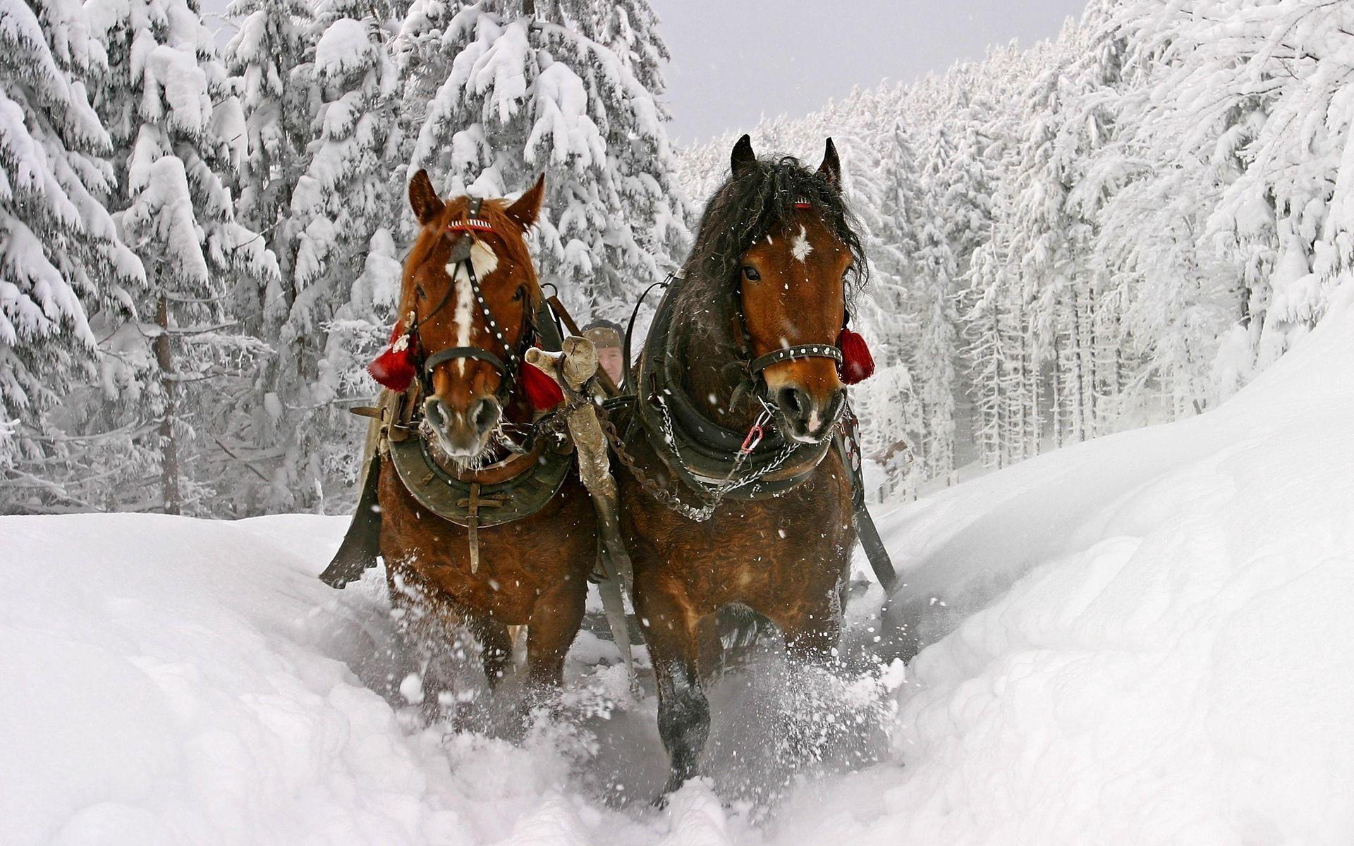 149107 descargar fondo de pantalla Animales, Caballo, Nieve, Trineo, Equipo, Equitación, Conducir: protectores de pantalla e imágenes gratis