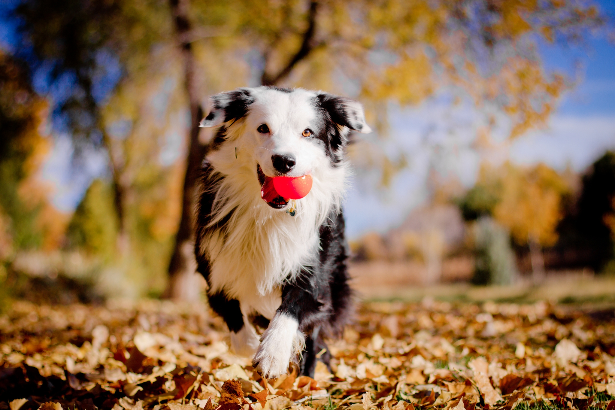 62601 download wallpaper Animals, Border Collie, Dog, Ball, Leaves, Autumn, Mood screensavers and pictures for free