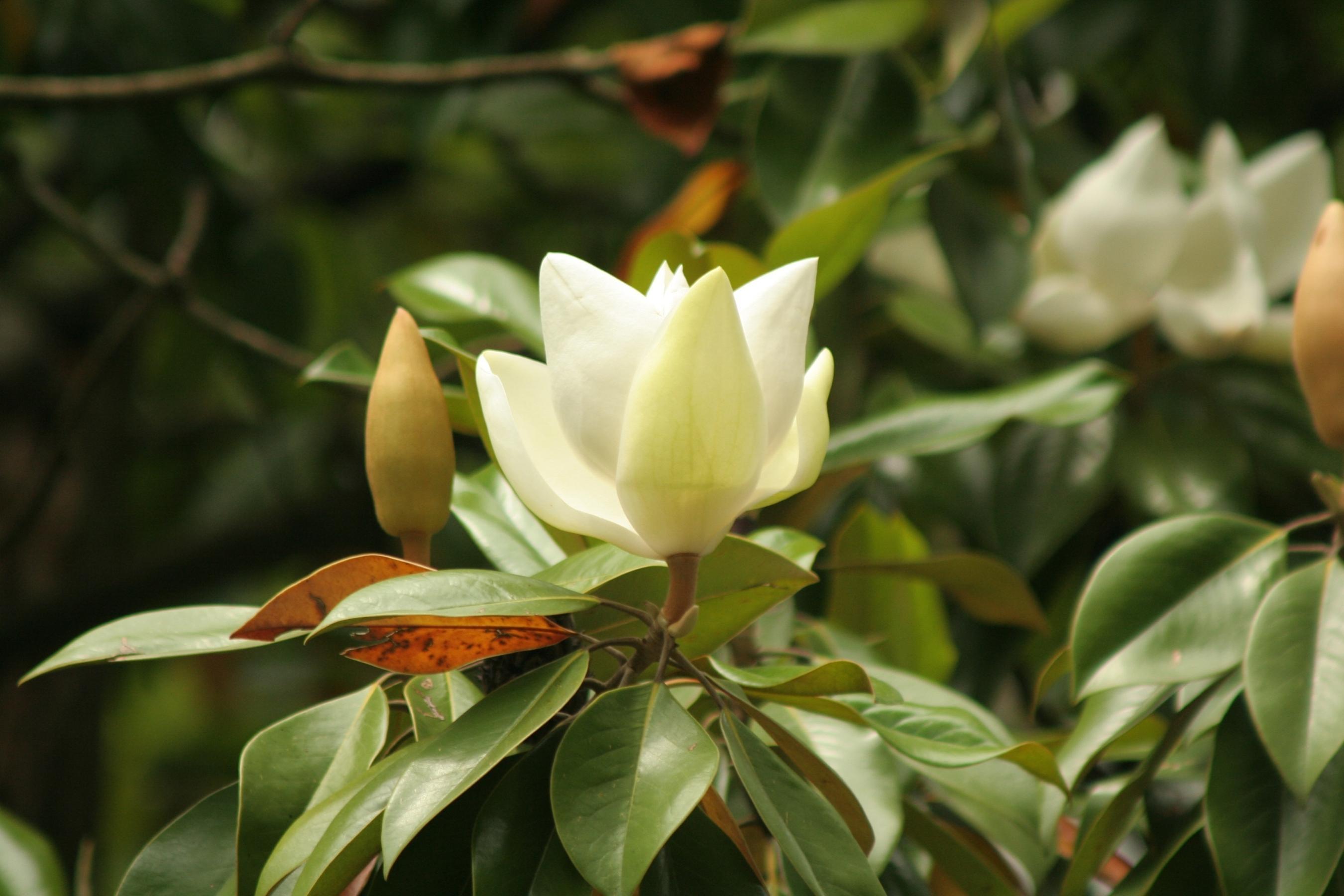 85215 скачать обои Цветы, Цветок, Бутоны, Кустарник, Ветка, Листья - заставки и картинки бесплатно
