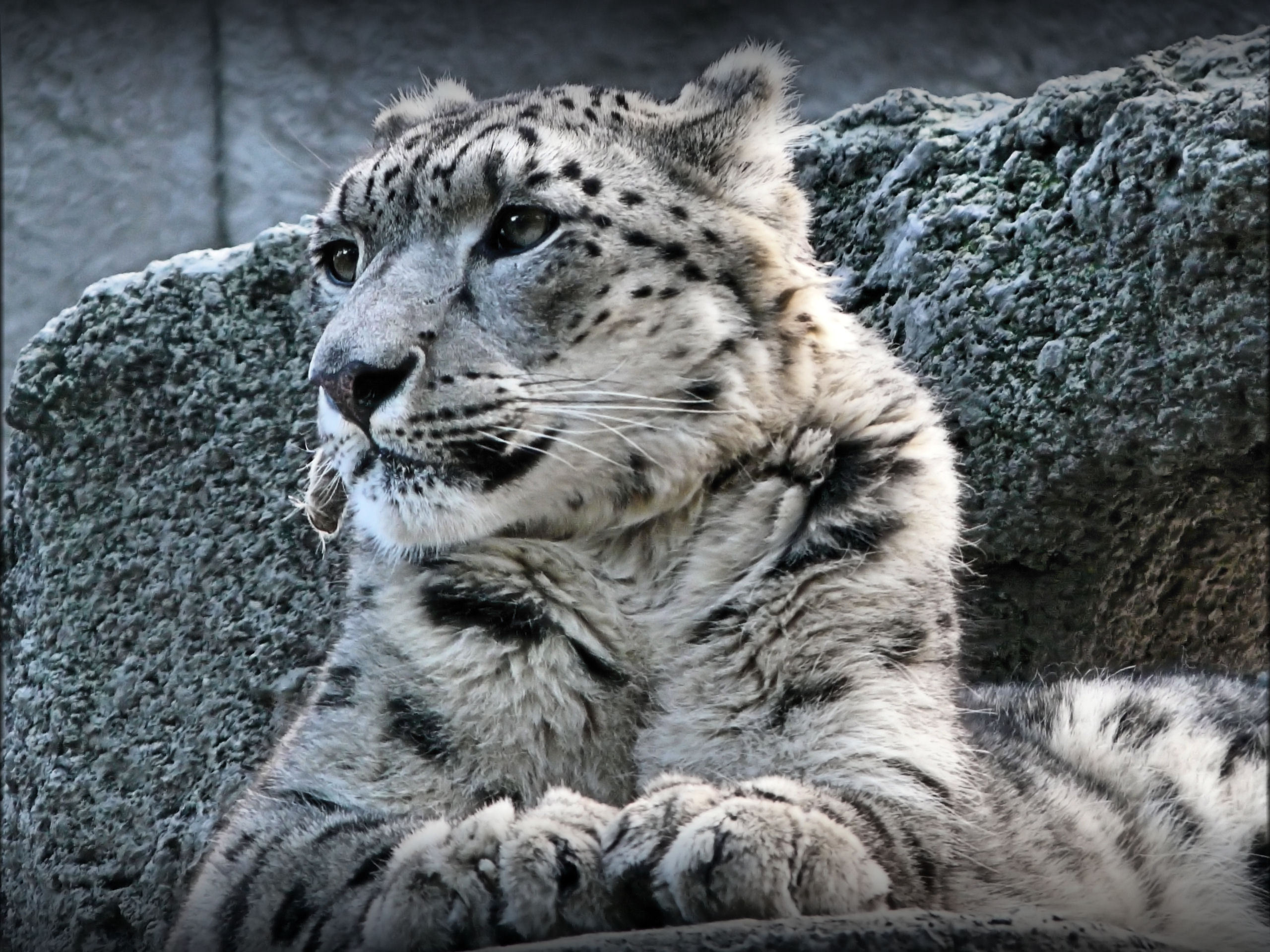 20439 download wallpaper Animals, Snow Leopard screensavers and pictures for free