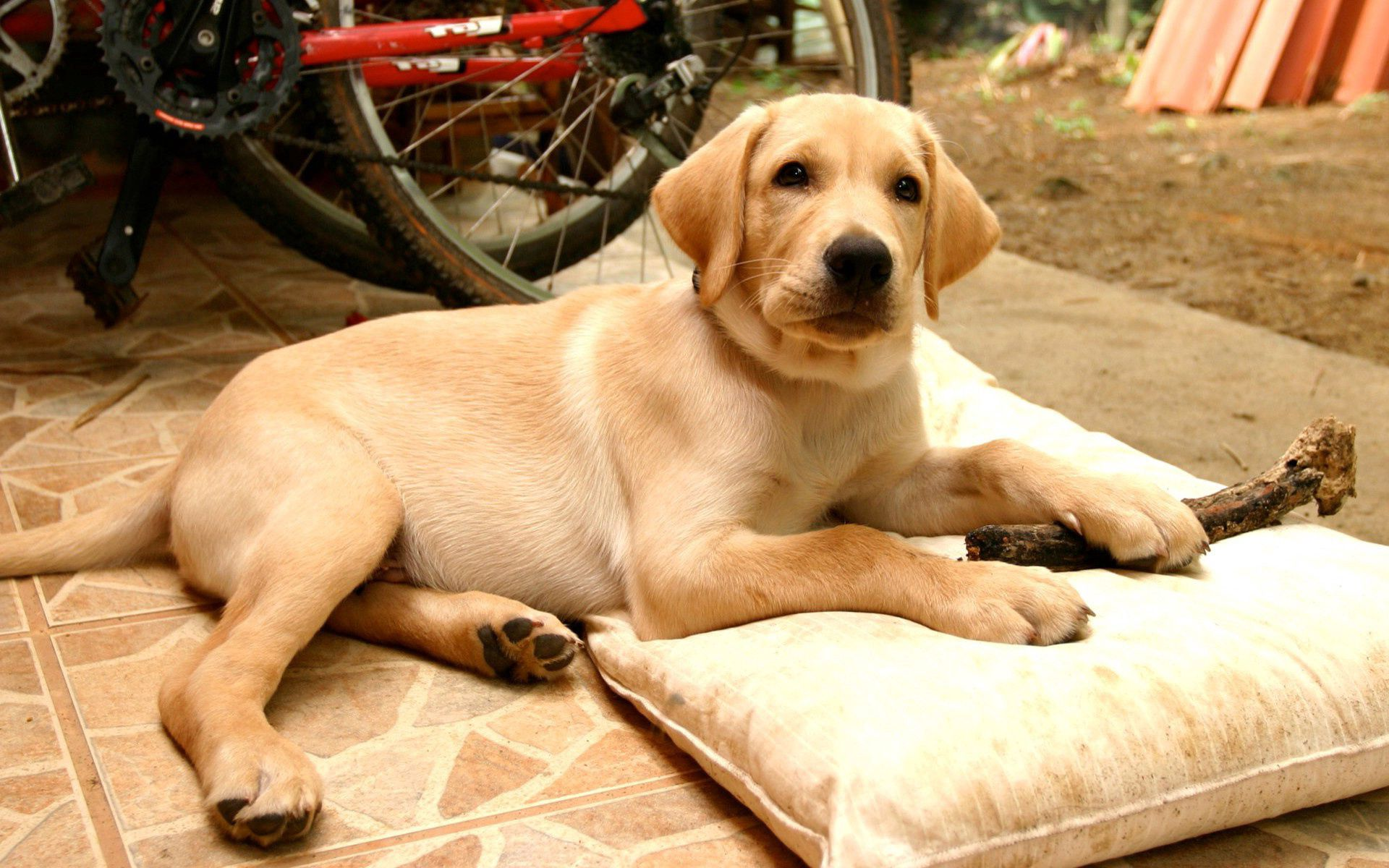 Download mobile wallpaper Labrador, Pillow, To Lie Down, Lie, Animals, Puppy for free.