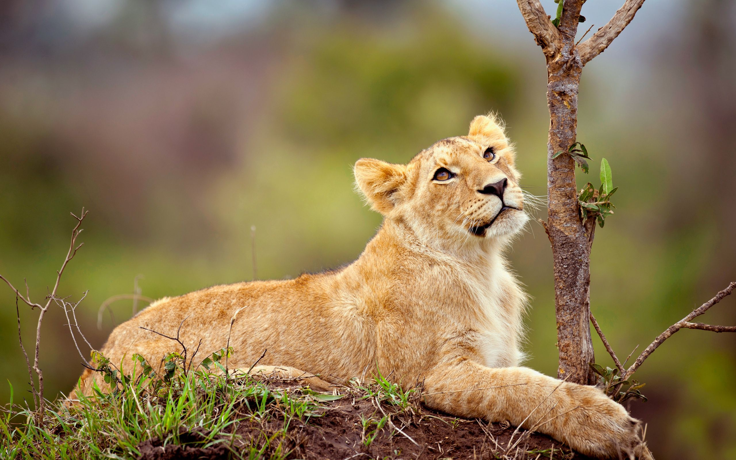 81082 download wallpaper Animals, Lion Cub, Lion, Young, Joey, Grass, Branch, To Lie Down, Lie screensavers and pictures for free