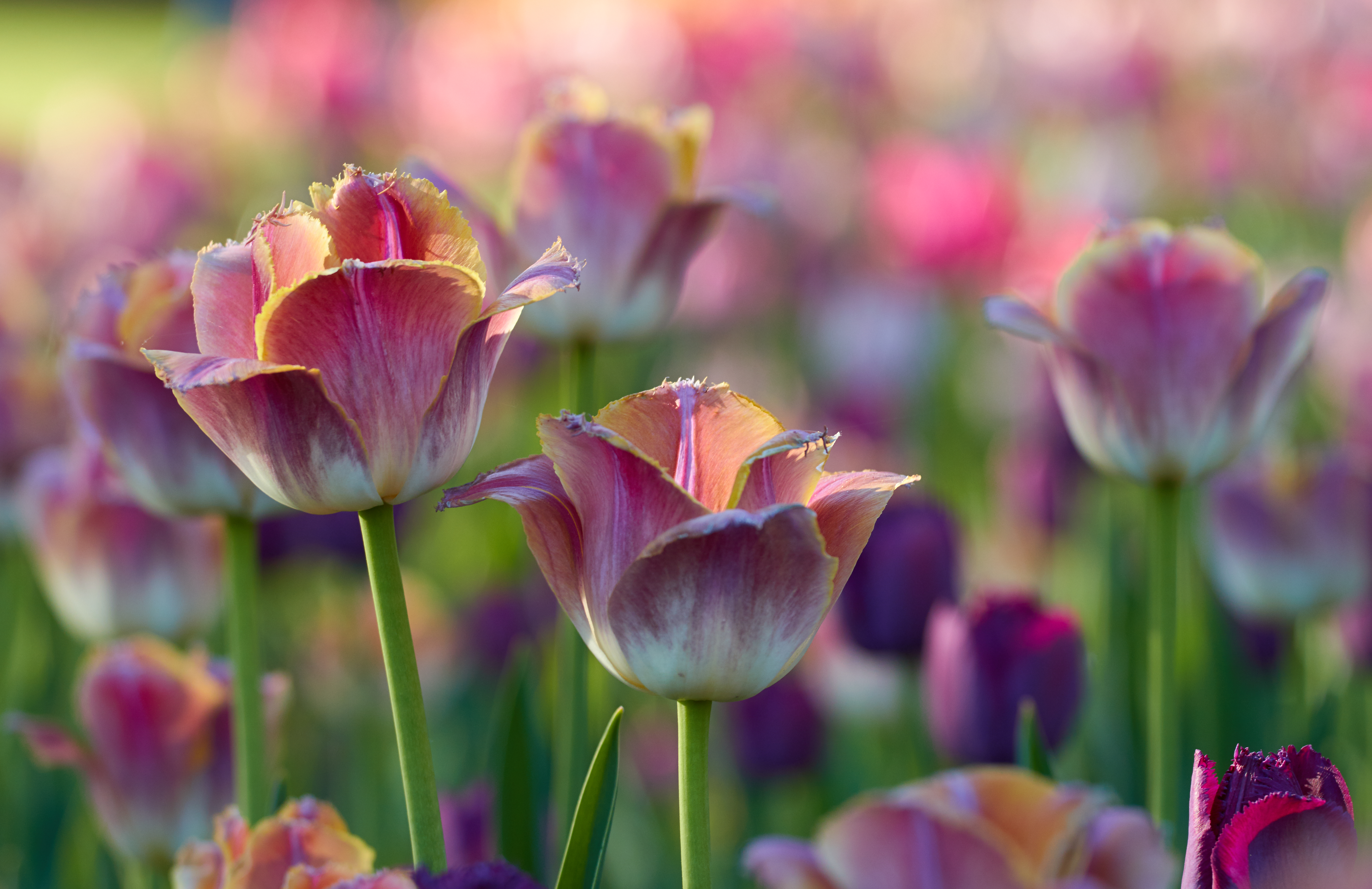 68856 Screensavers and Wallpapers Flower Bed for phone. Download Tulips, Flowers, Pink, Flower Bed, Flowerbed pictures for free