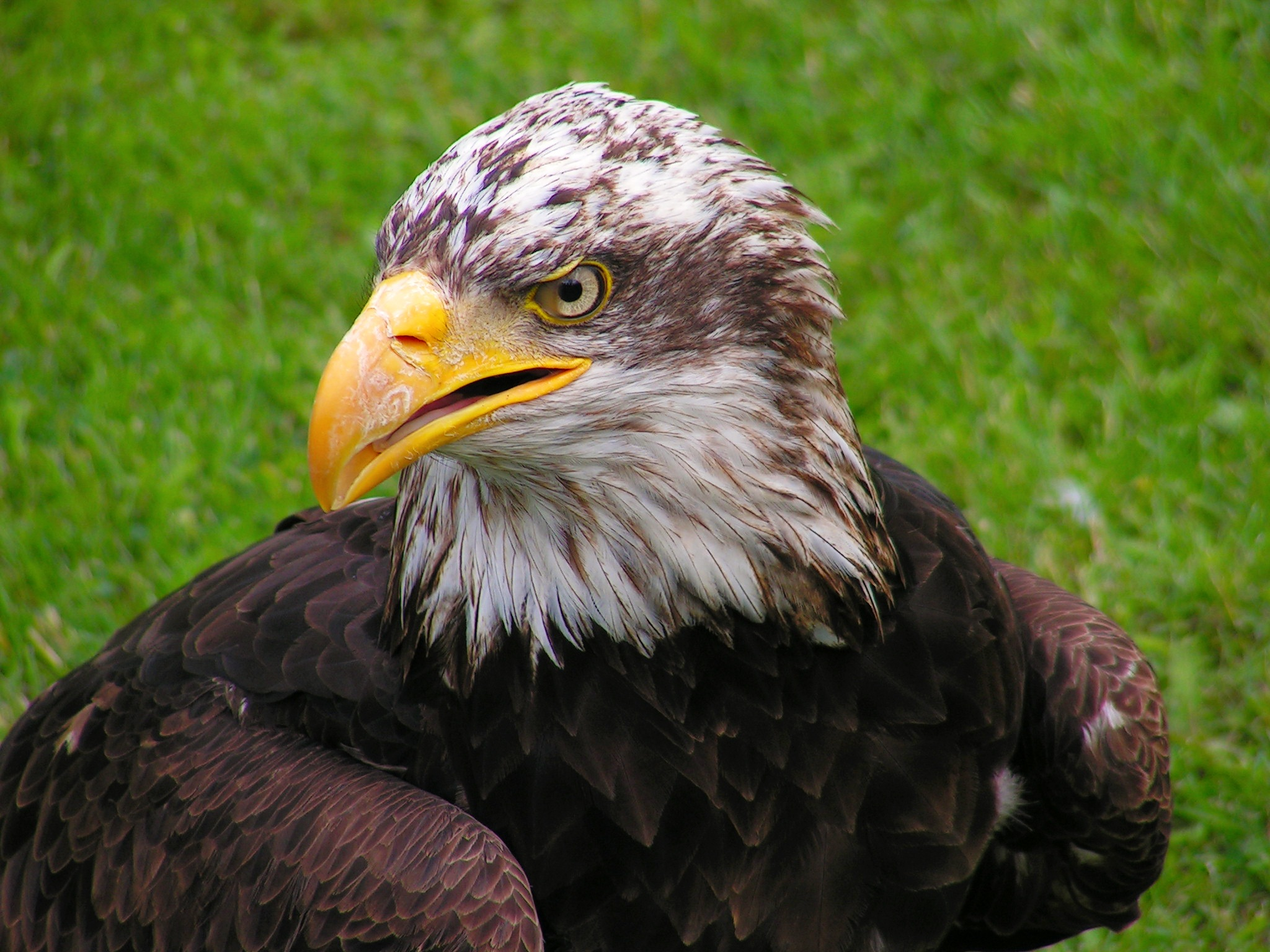 68263 download wallpaper Animals, Bald Eagle, White-Headed Eagle, Eagle, Bird, Predator screensavers and pictures for free
