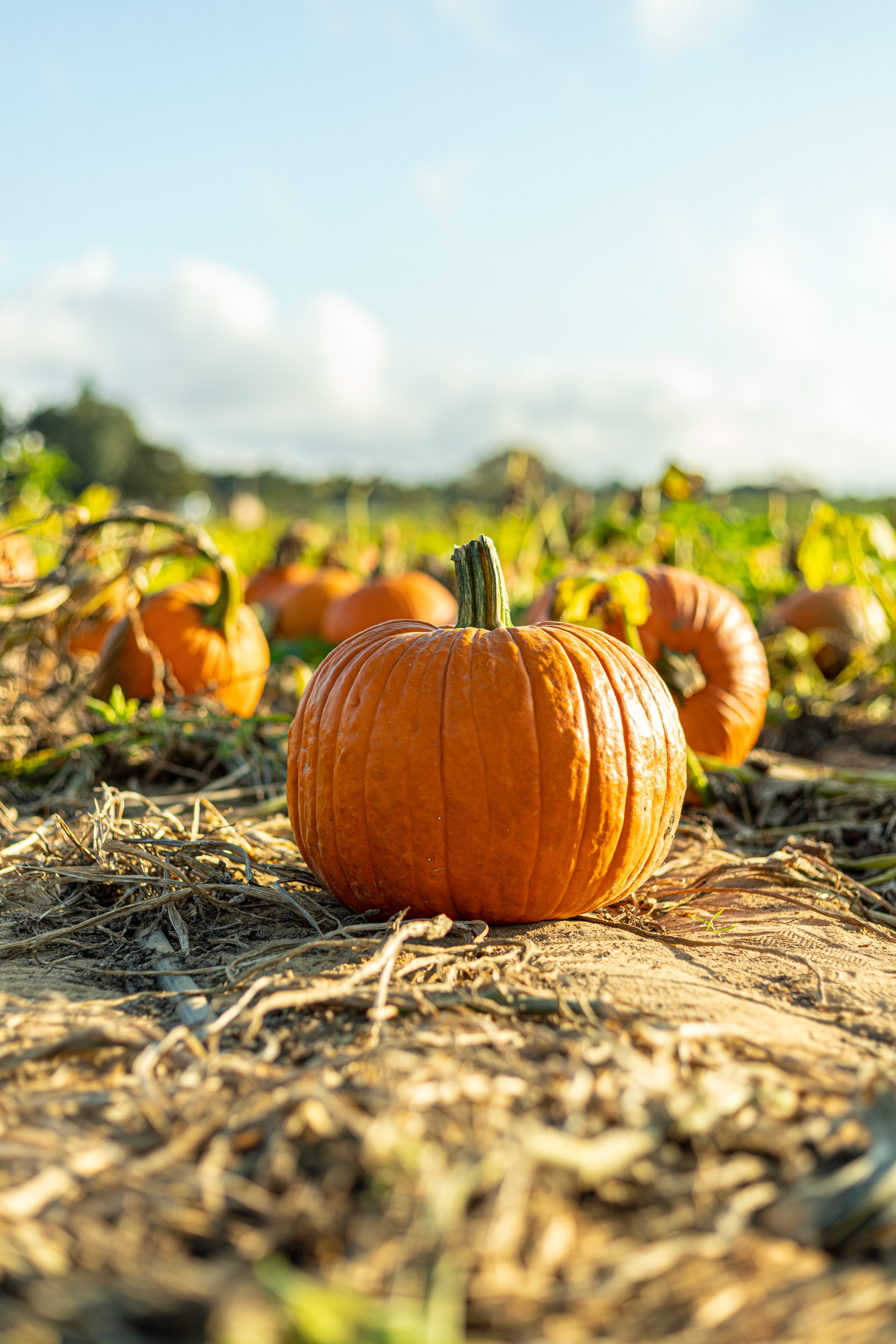 151991 Screensavers and Wallpapers Pumpkin for phone. Download Nature, Autumn, Pumpkin, Harvest, Vegetable pictures for free