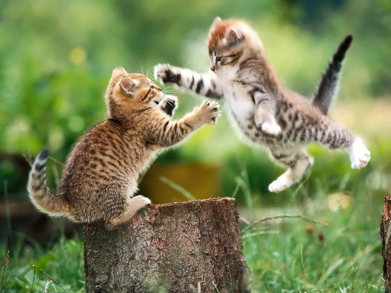 68286 Screensavers and Wallpapers Kittens for phone. Download Animals, Couple, Pair, Fight, Stump, Penek, Kittens pictures for free