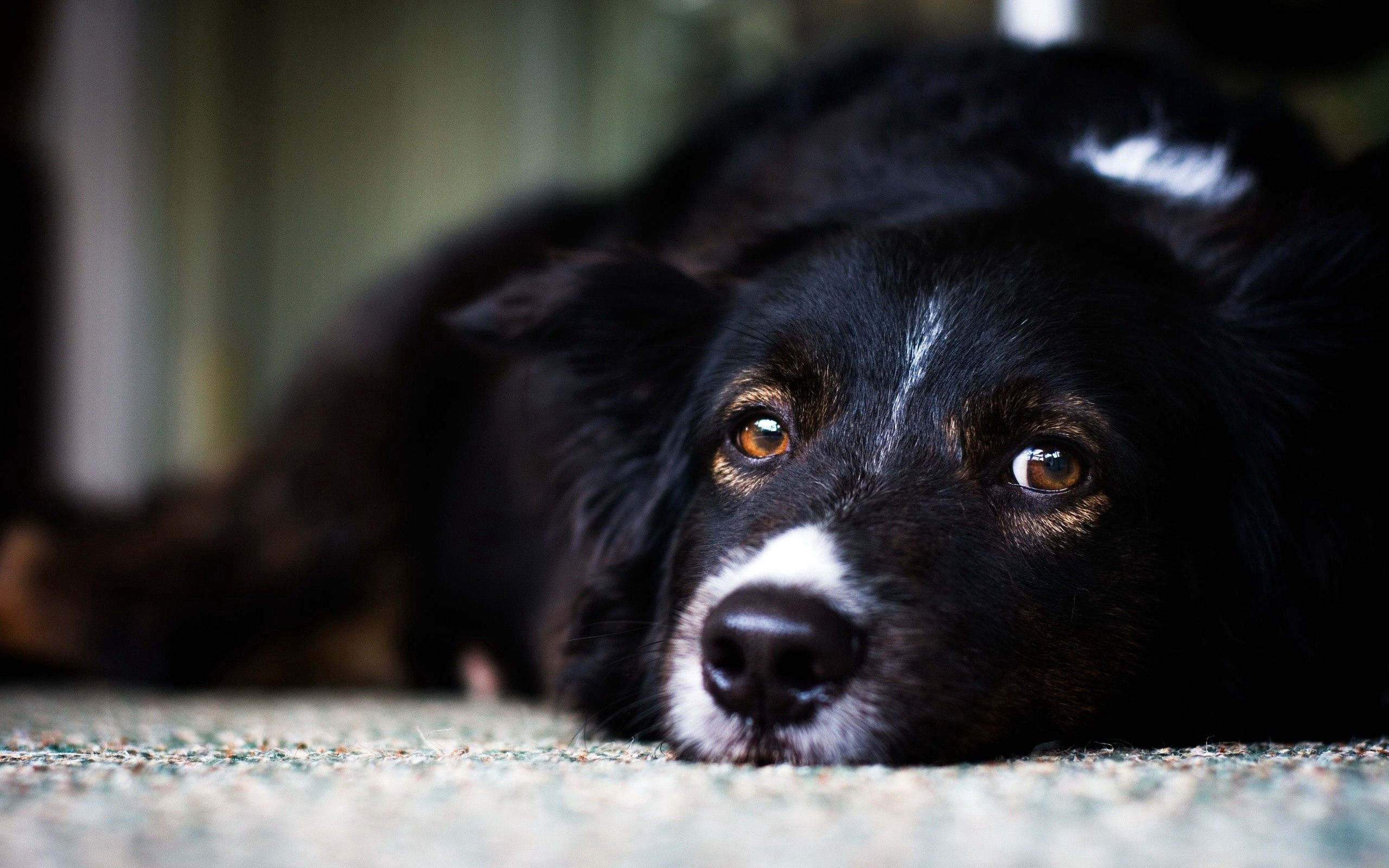 149245 download wallpaper Animals, Muzzle, Dog, Eyes, To Lie Down, Lie, Sadness, Sorrow screensavers and pictures for free