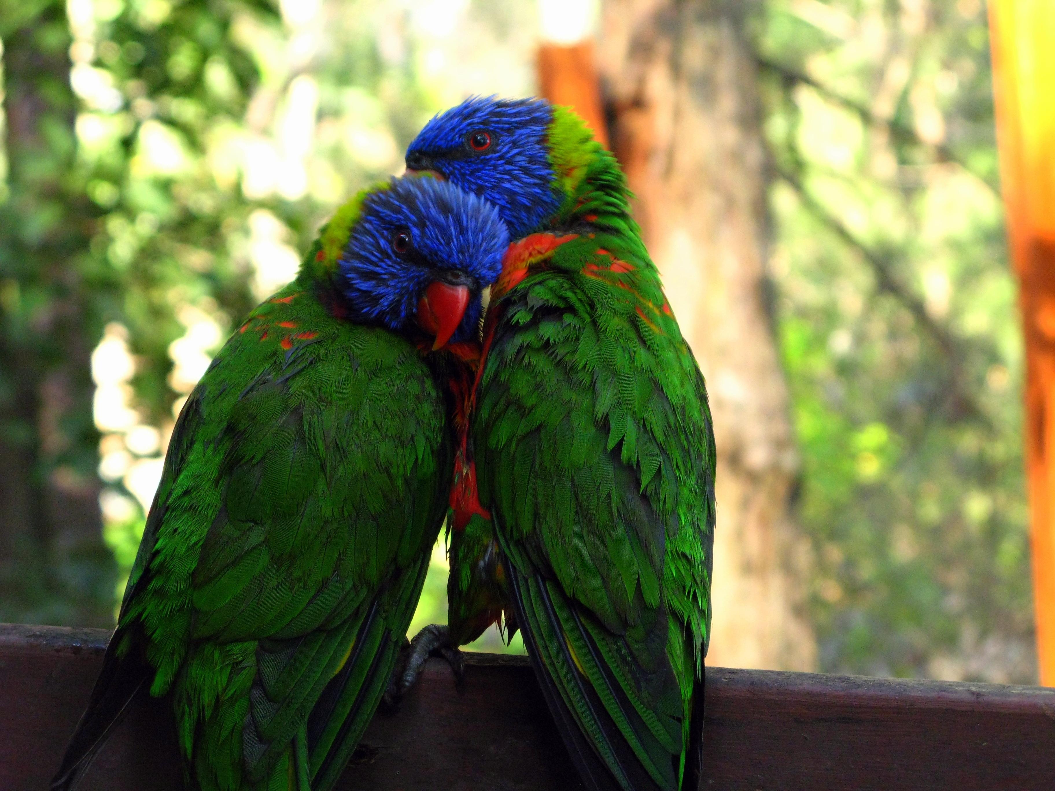 127287 Заставки и Обои Птицы на телефон. Скачать Птицы, Животные, Попугаи, Пара, Нежность картинки бесплатно