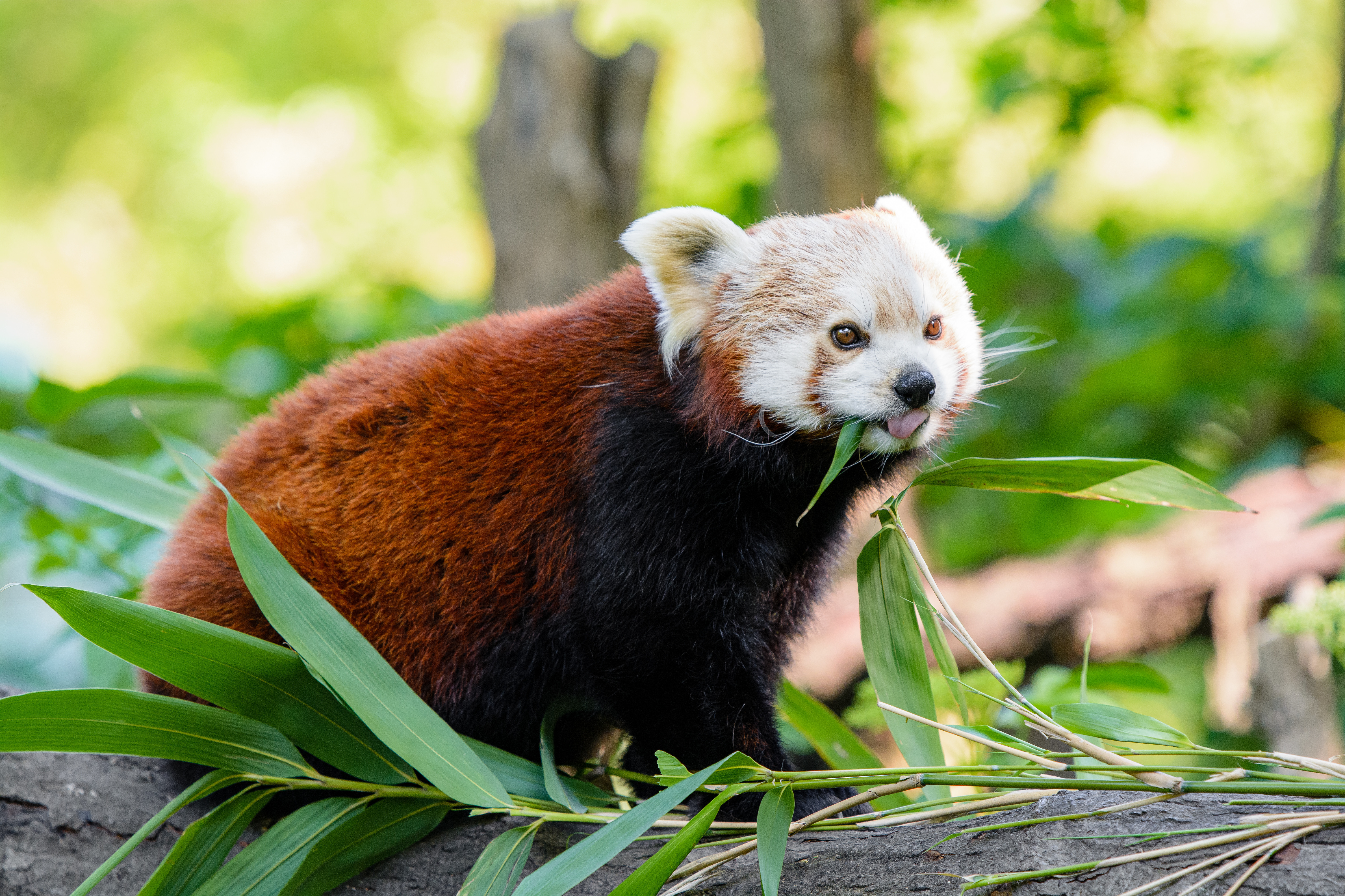 119409 download wallpaper Animals, Red Panda, Panda, Protruding Tongue, Tongue Stuck Out, Funny screensavers and pictures for free