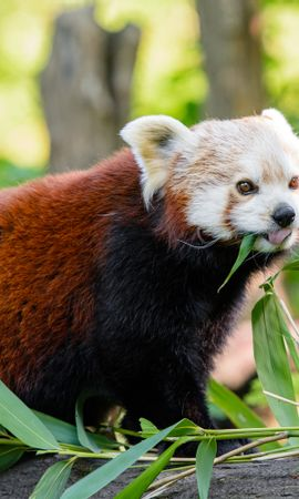 119409 Screensavers and Wallpapers Funny for phone. Download Animals, Red Panda, Panda, Protruding Tongue, Tongue Stuck Out, Funny pictures for free