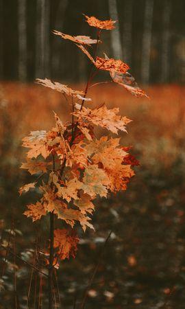 74465 скачать обои Природа, Дерево, Клен, Осень, Листья, Сухой - заставки и картинки бесплатно
